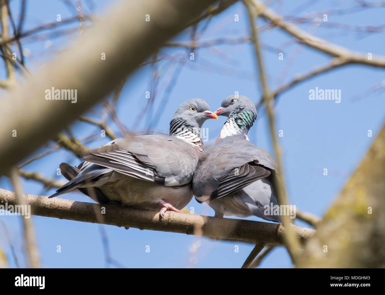 Pair of Common Wood Pigeons (Columba palumbus) courting while perched on a branch in Spring in West Sussex, UK. Couple of pigeons kissing in a tree. - Stock Image