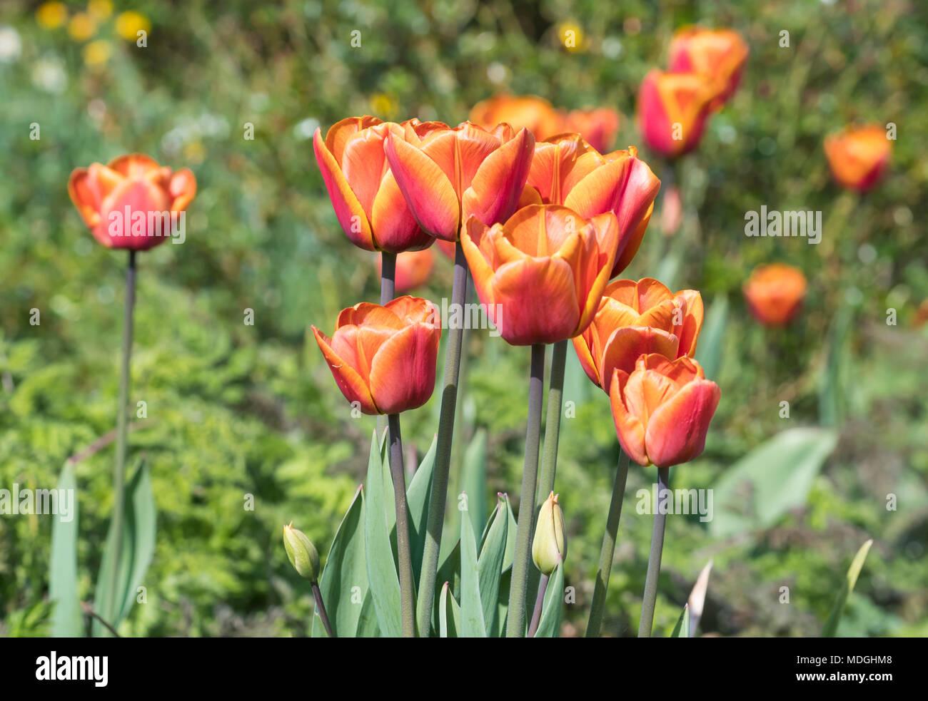 2 tone orange red Garden Tulips (Tulipa gesneriana, Didier's tulip) blooming in Spring in the UK. - Stock Image