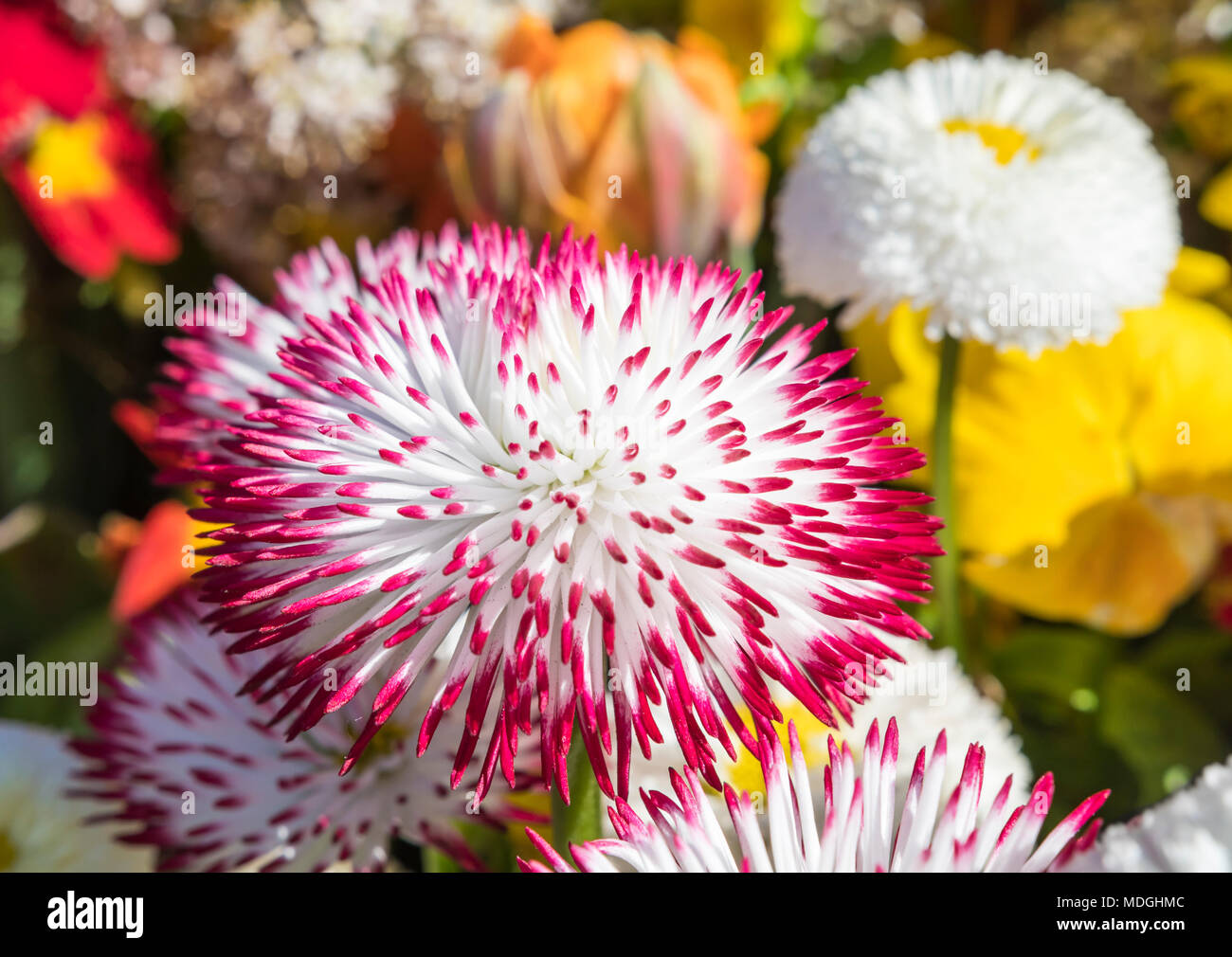 Bellis perennis 'Habanera White with Red Tips' red and white tipped (English Daisy, Lawn Daisy) dasies from the Habanera series in Spring in the UK. - Stock Image