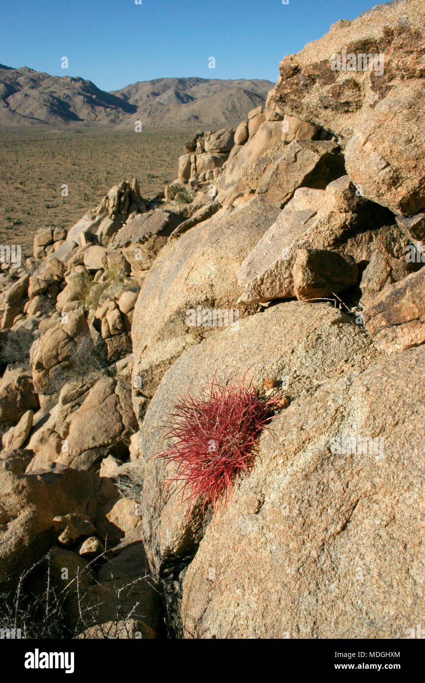 Ferocactus cylindreus among the stones, Cacti with red prickles among stone rocks Stock Photo