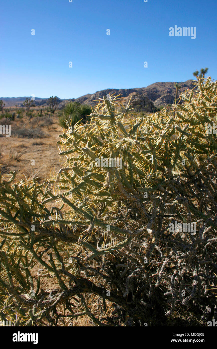 Opuntia ramosissima. Branched Pencil Cholla. Stock Photo