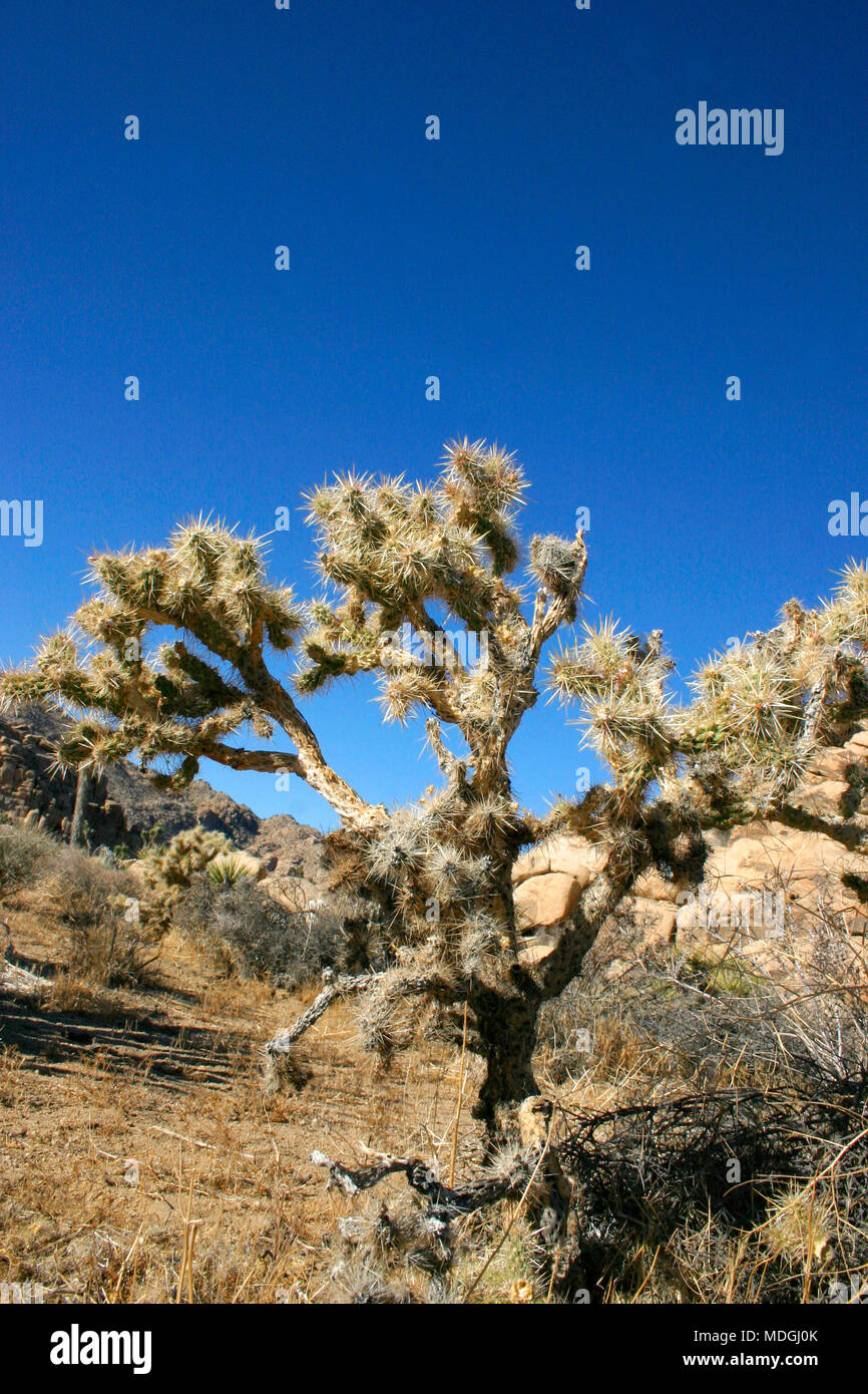 Cholla Cacti In The Ajo Mountains, Organ Pipe Cactus National Monument, Arizona Stock Photo