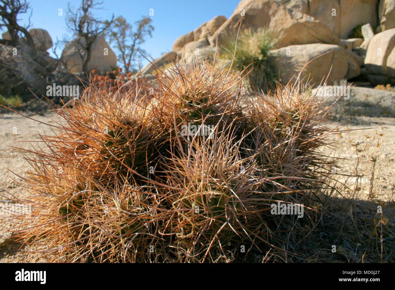 Cacti Echinocreus, Mojave Desert Joshua Tree National Park California Stock Photo