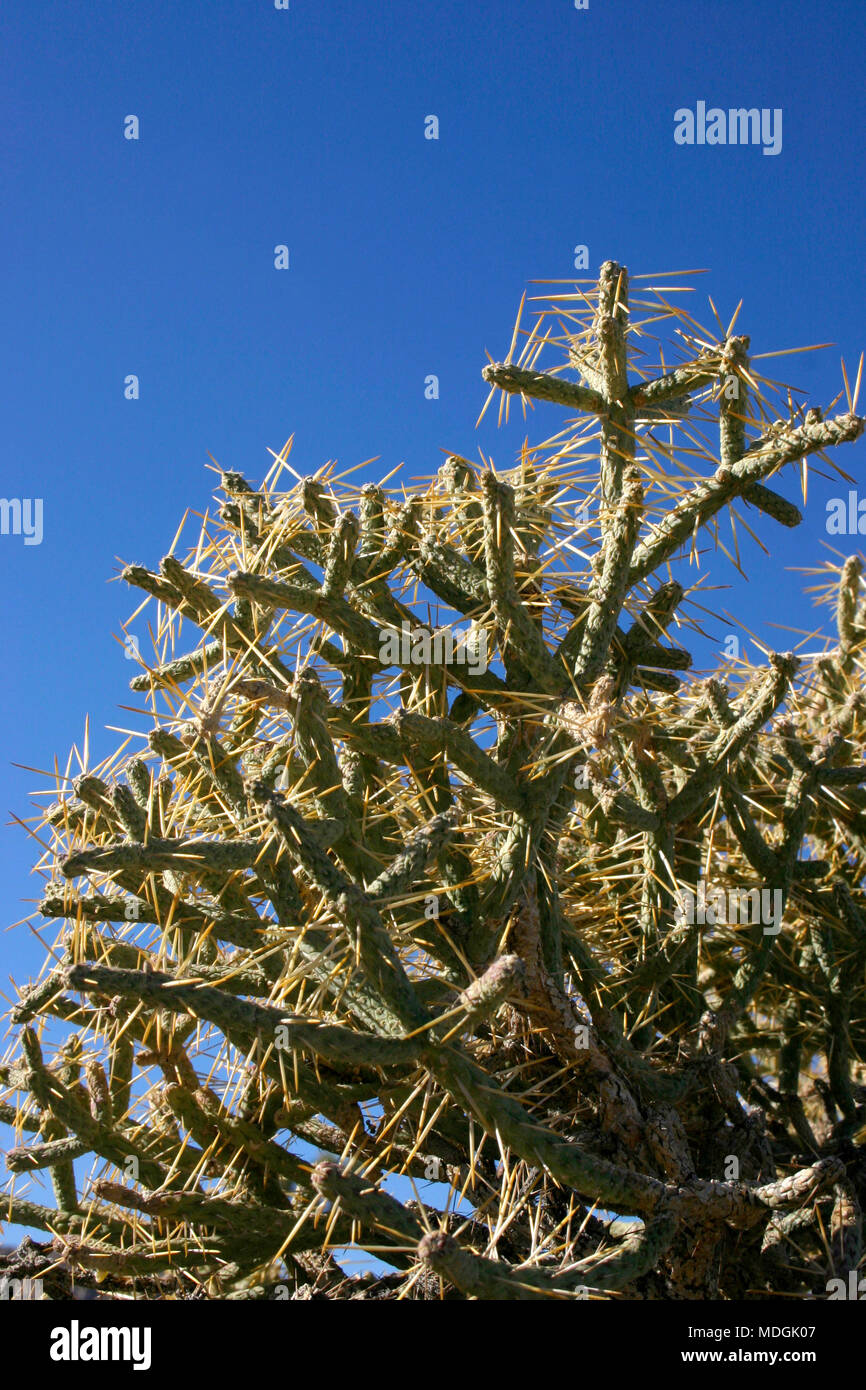 Opuntia ramosissima. Branched Pencil Cholla - Stock Image