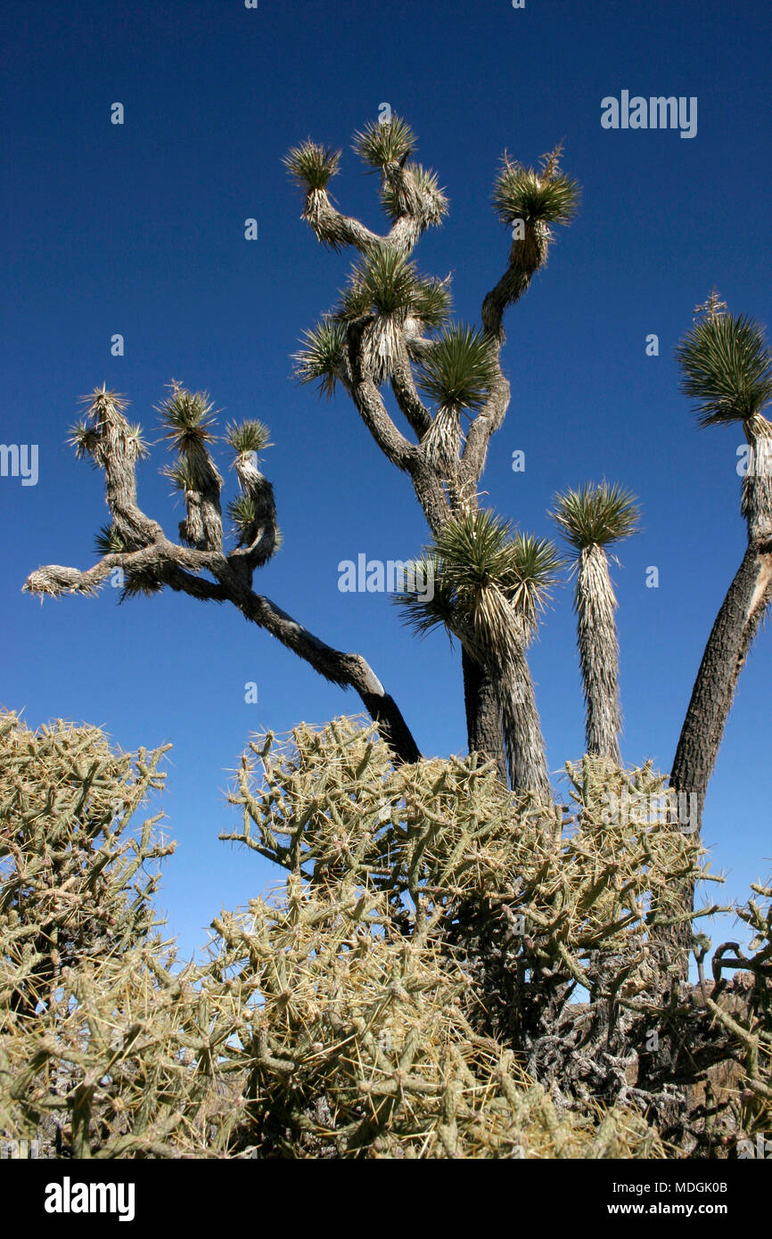 Many Branches Joshua Tree Yucca Brevifolia Mojave Desert Joshua Tree National Park California Stock Photo