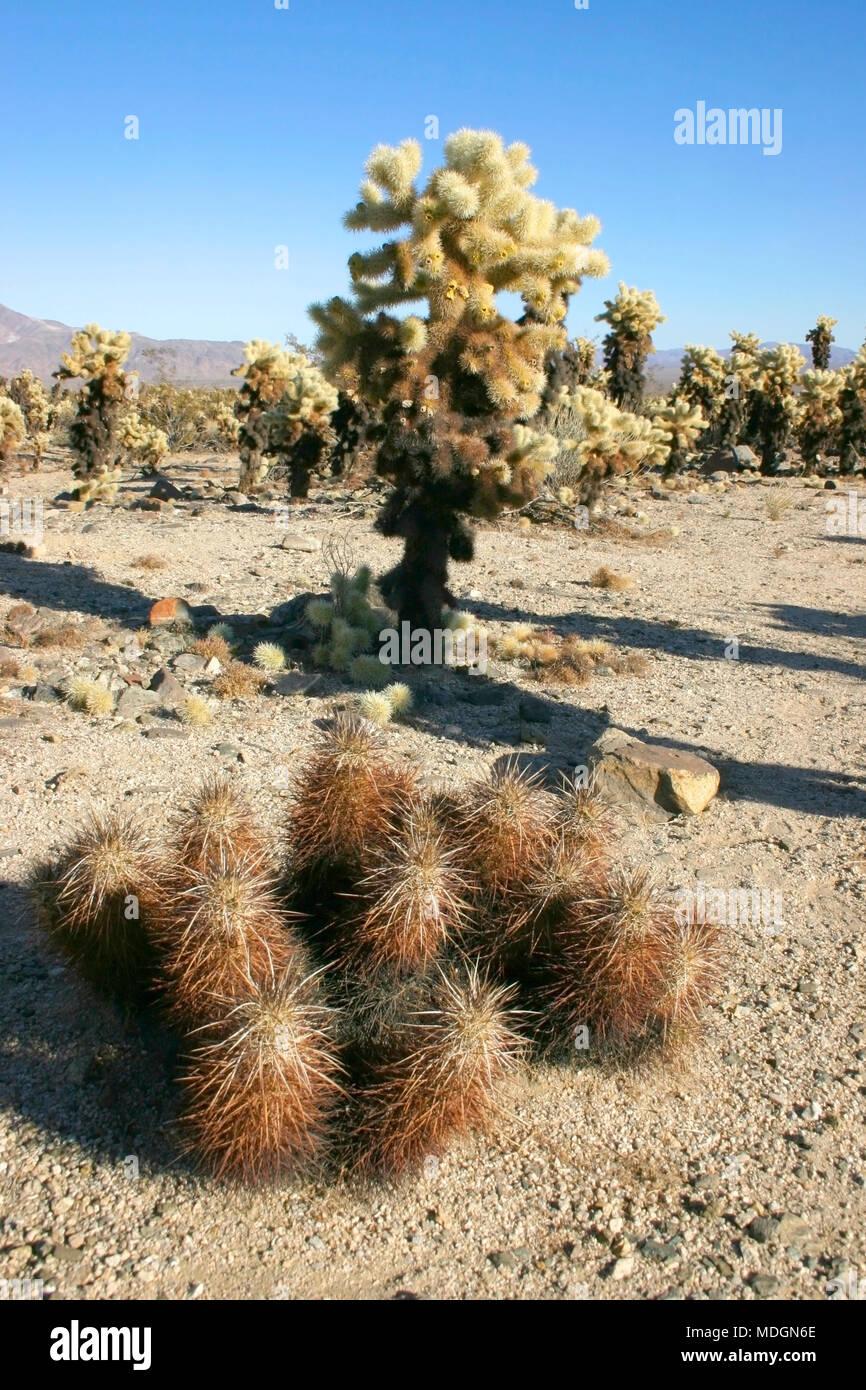 Group of cacti among stones Echinocereus engelmani, Cholla Cacti, Joshua Tree Landscape Yucca Brevifolia Mojave Desert Joshua Tree National Park Calif - Stock Image
