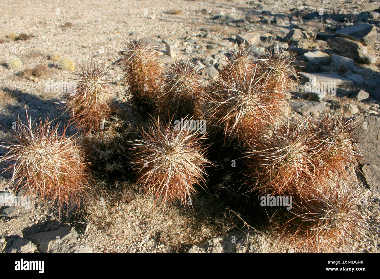 Group of cacti among stones Echinocereus engelmanii, Joshua Tree Landscape Yucca Brevifolia Mojave Desert Joshua Tree National Park California Stock Photo