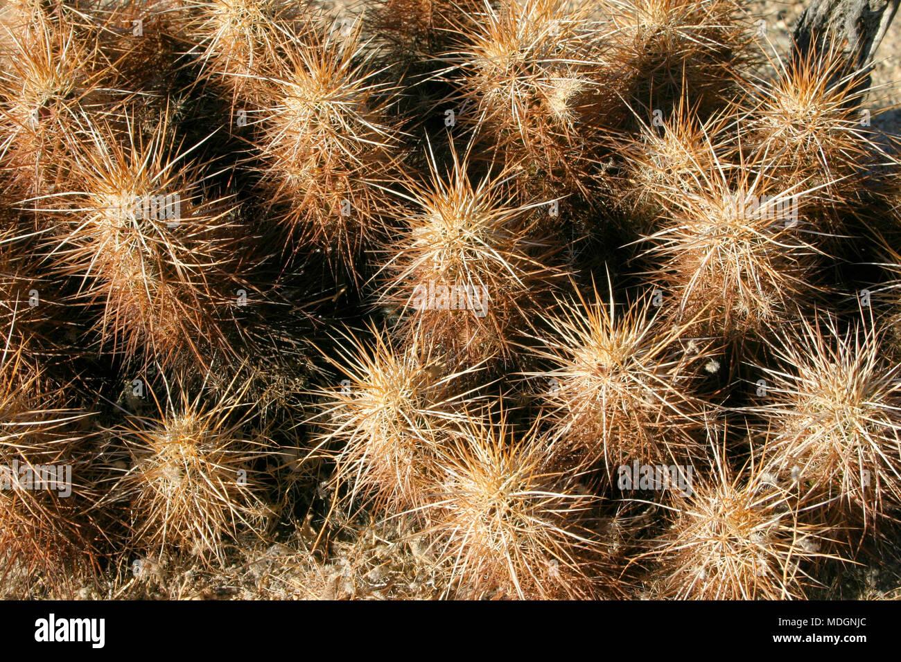 Echinocereus engelmani.  Group of cacti among stones, Mojave Desert, Joshua Tree National Park, California Stock Photo