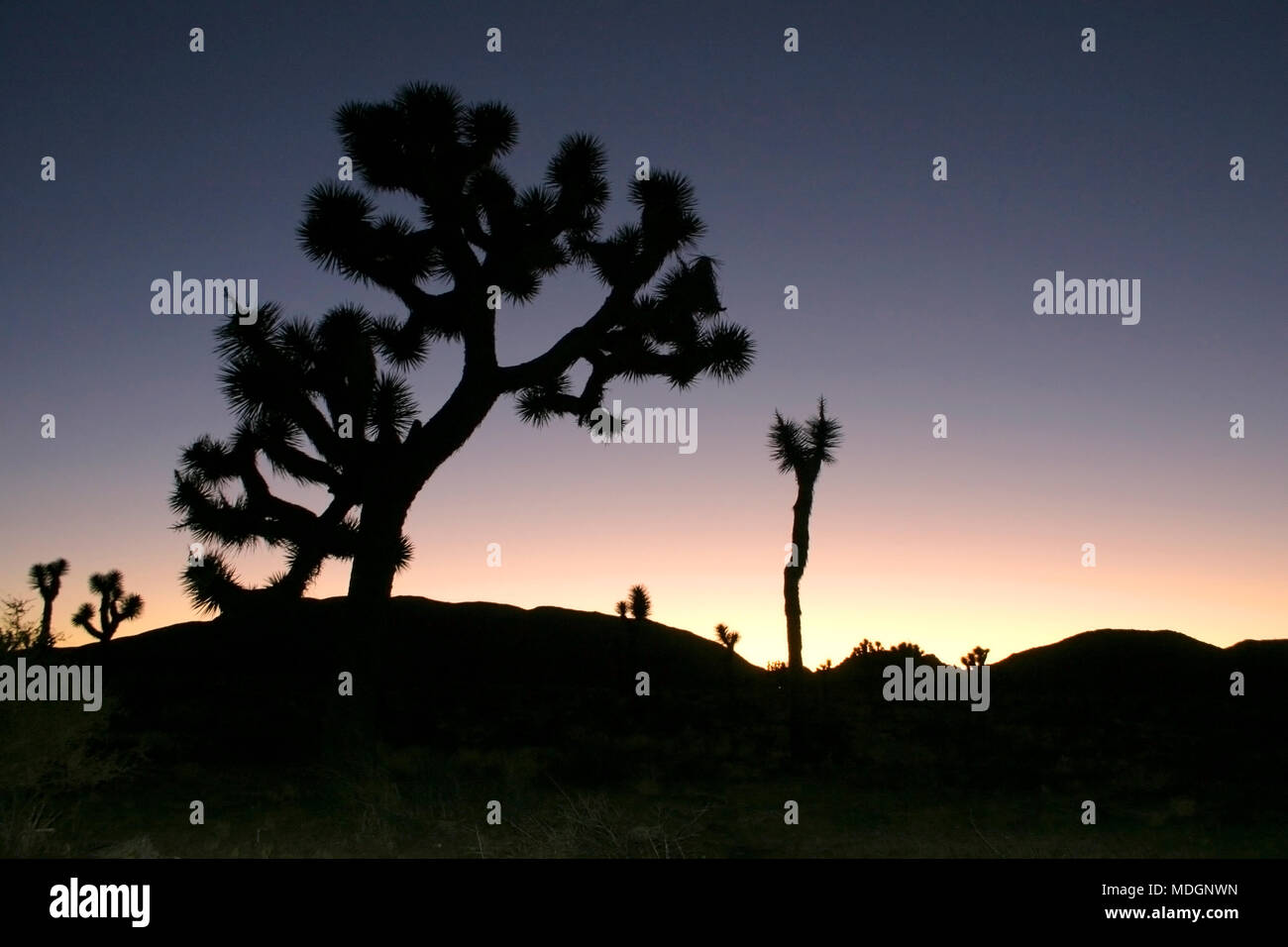 Joshua Tree Landscape Yucca Brevifolia Mojave Desert Joshua Tree National Park California Stock Photo