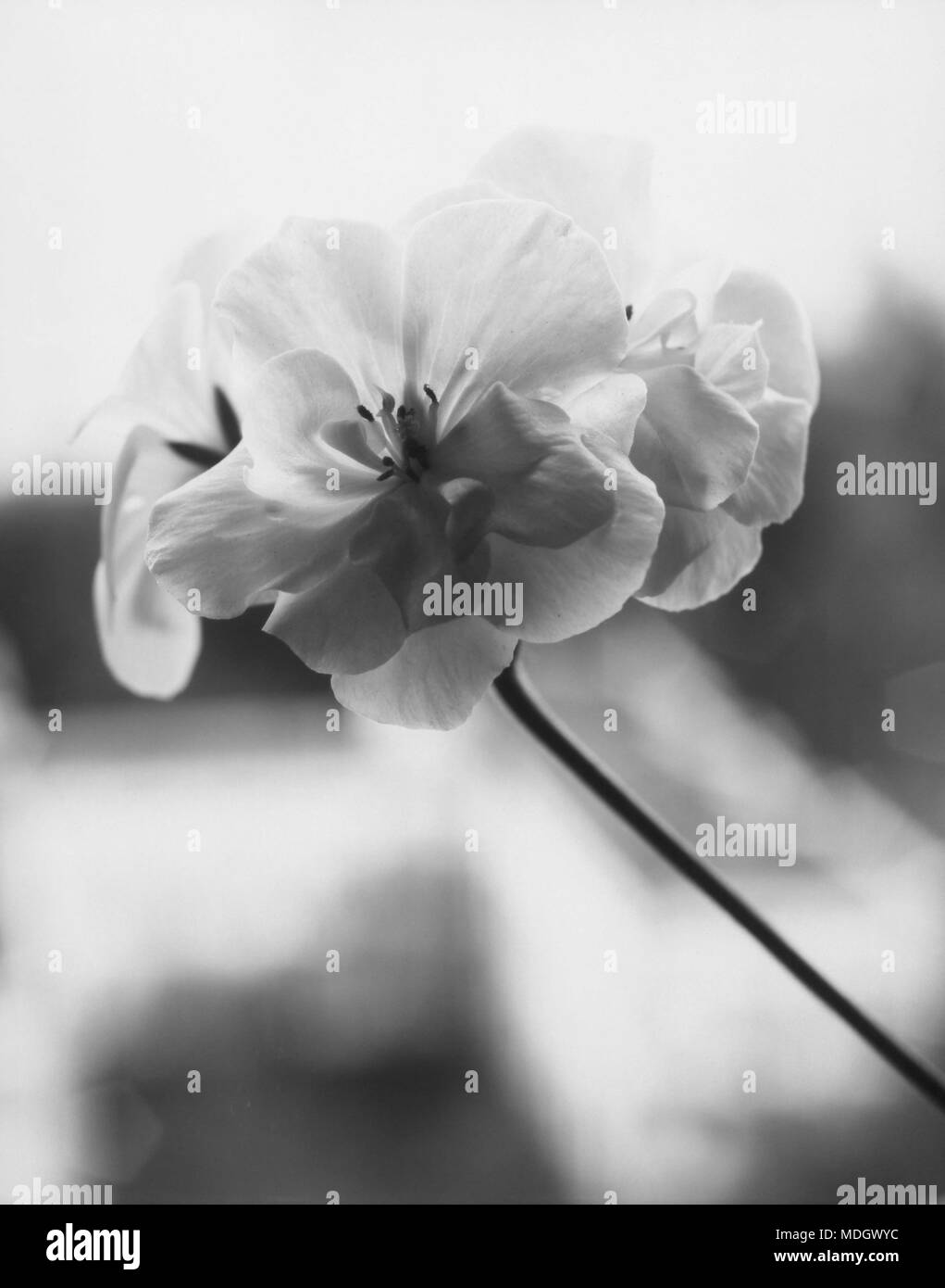 Geranium flower close-up. Inversion of the paper negative. Attention! The image contains granularity and other artifacts of analog photography! - Stock Image