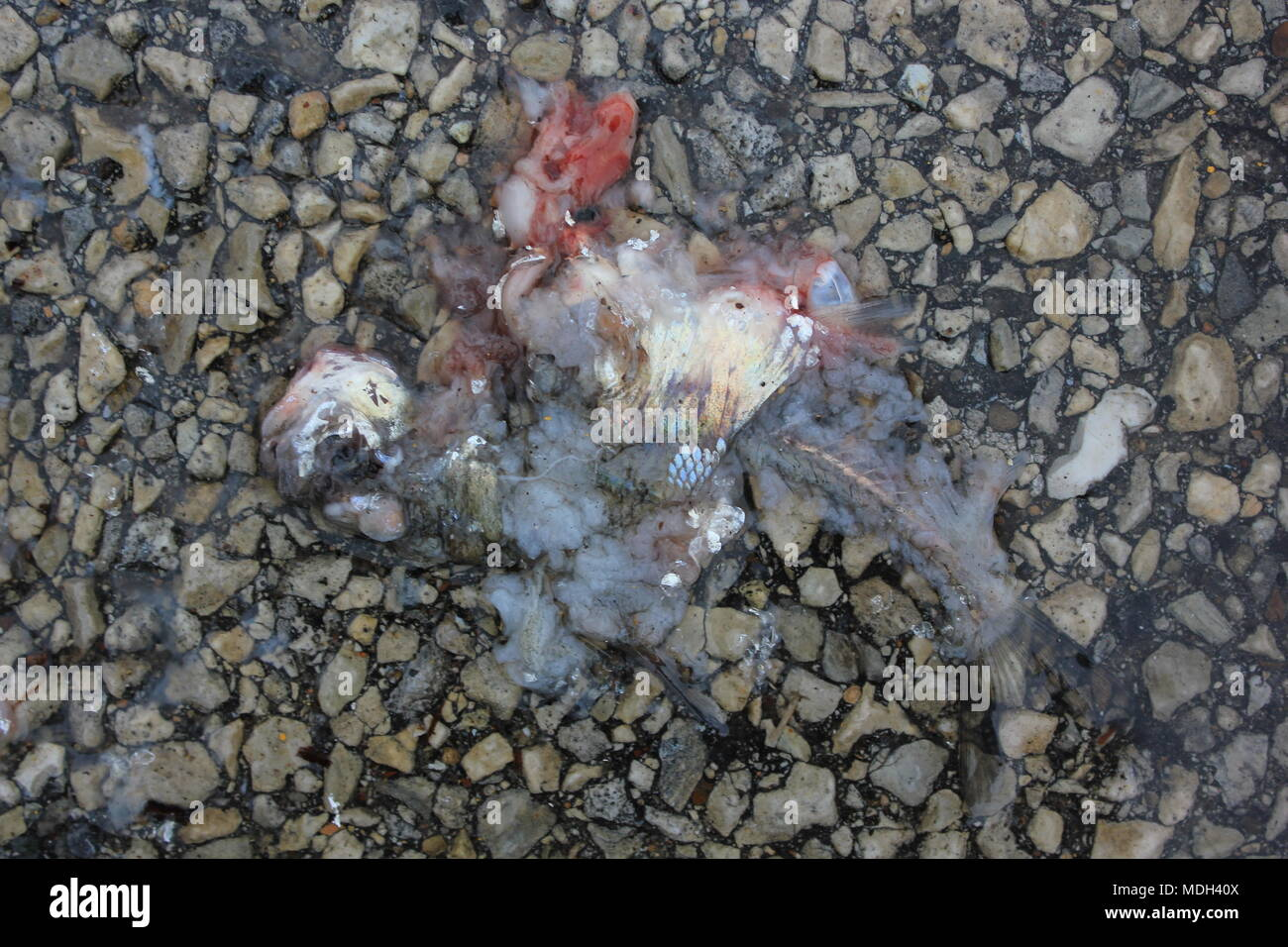 Dead fish laying in the Wal-Mart parking lot. - Stock Image