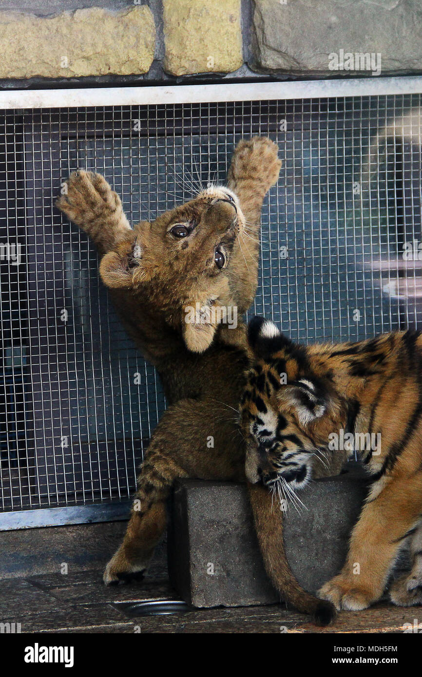 Cute tiger cub stock photos cute tiger cub stock images alamy a cute tiger cub standing up against a wal looking backwards stock image altavistaventures Gallery