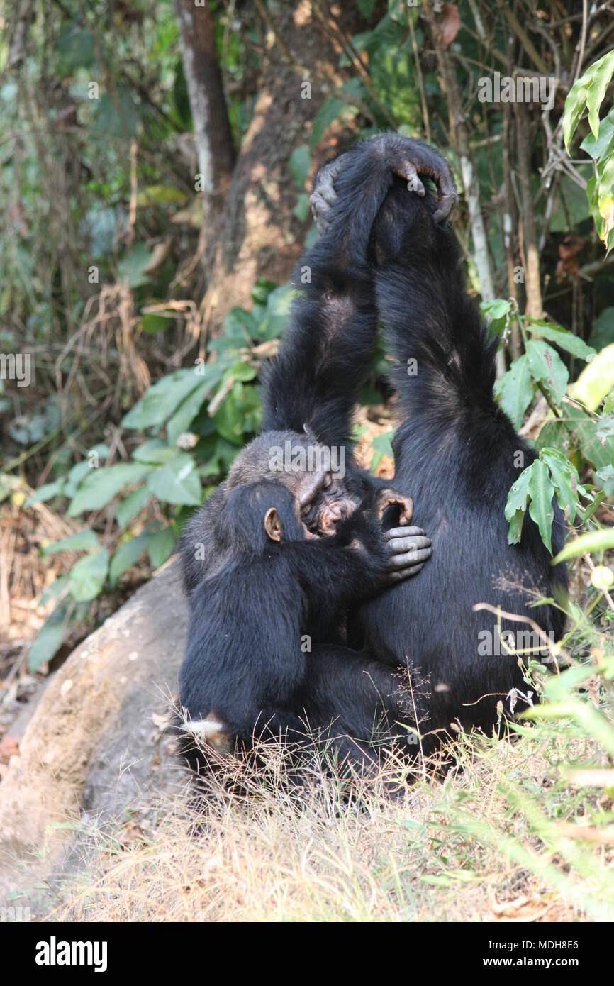 Common  Chimpanzees grooming in a group, arms raised, armpits inspected - Stock Image