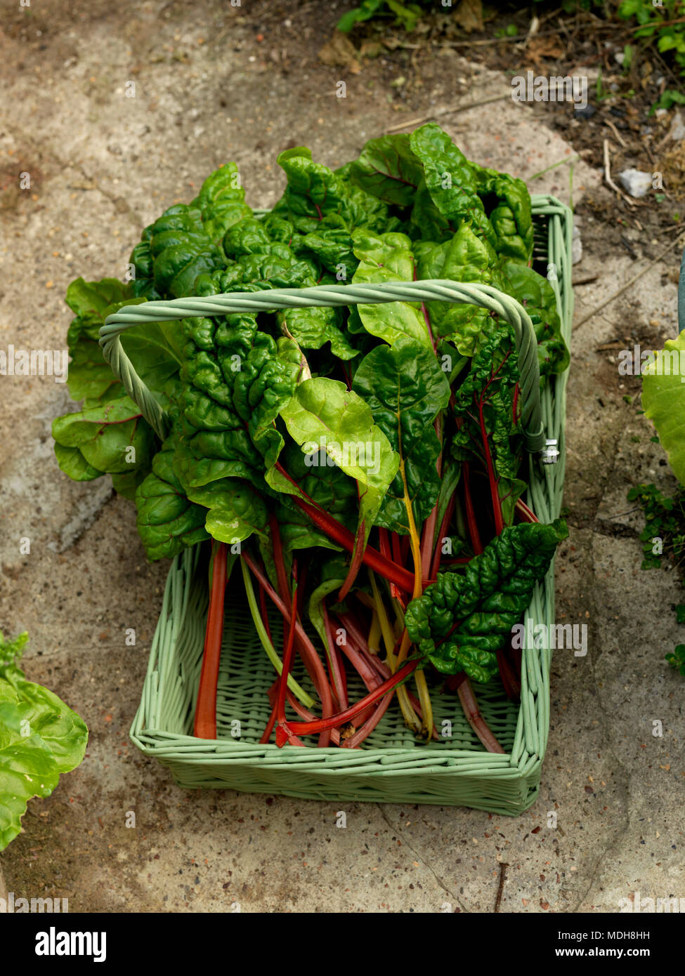 Swiss Chard Spinach Type Vegetable with Red and Yellow Stalks Beta Cicla From The Beet Family In A Trug On A Bench - Stock Image