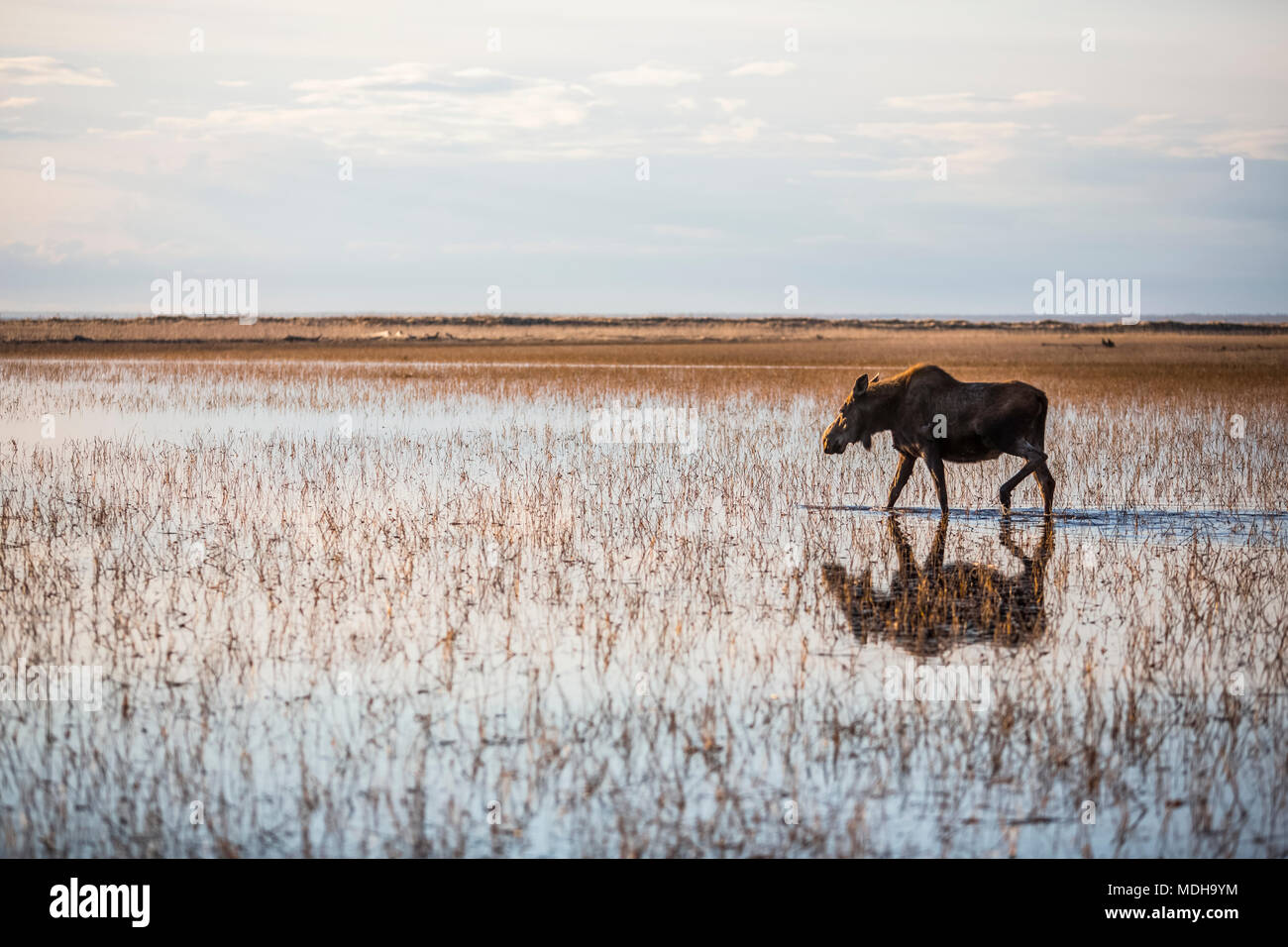A cow moose (alces alces) walks through shallow water with a reflection and the horizon; Anchorage, Alaska, United States of America - Stock Image