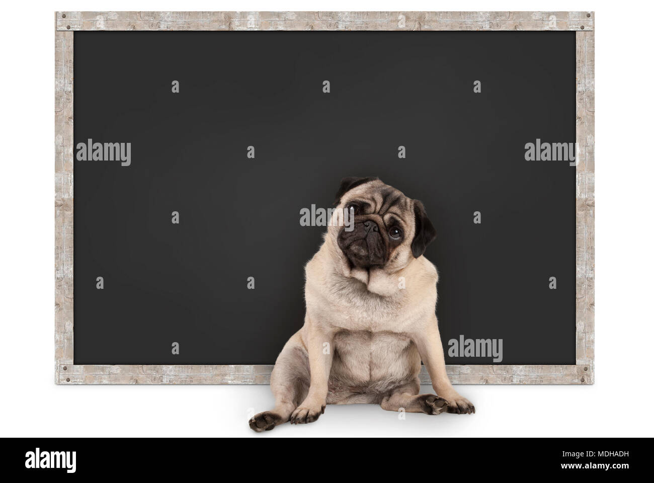 smart funny pug puppy dog sitting in front of blank blackboard, isolated on white background Stock Photo