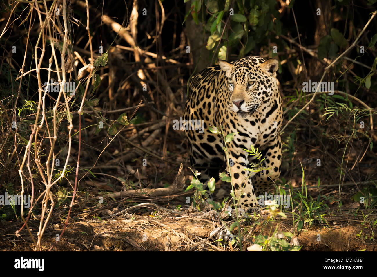 A Jaguar (Panthera onca) is prowling through dense forest in Brazil. It has a yellowish-brown coat with black spots and golden brown eyes, Pantanal - Stock Image