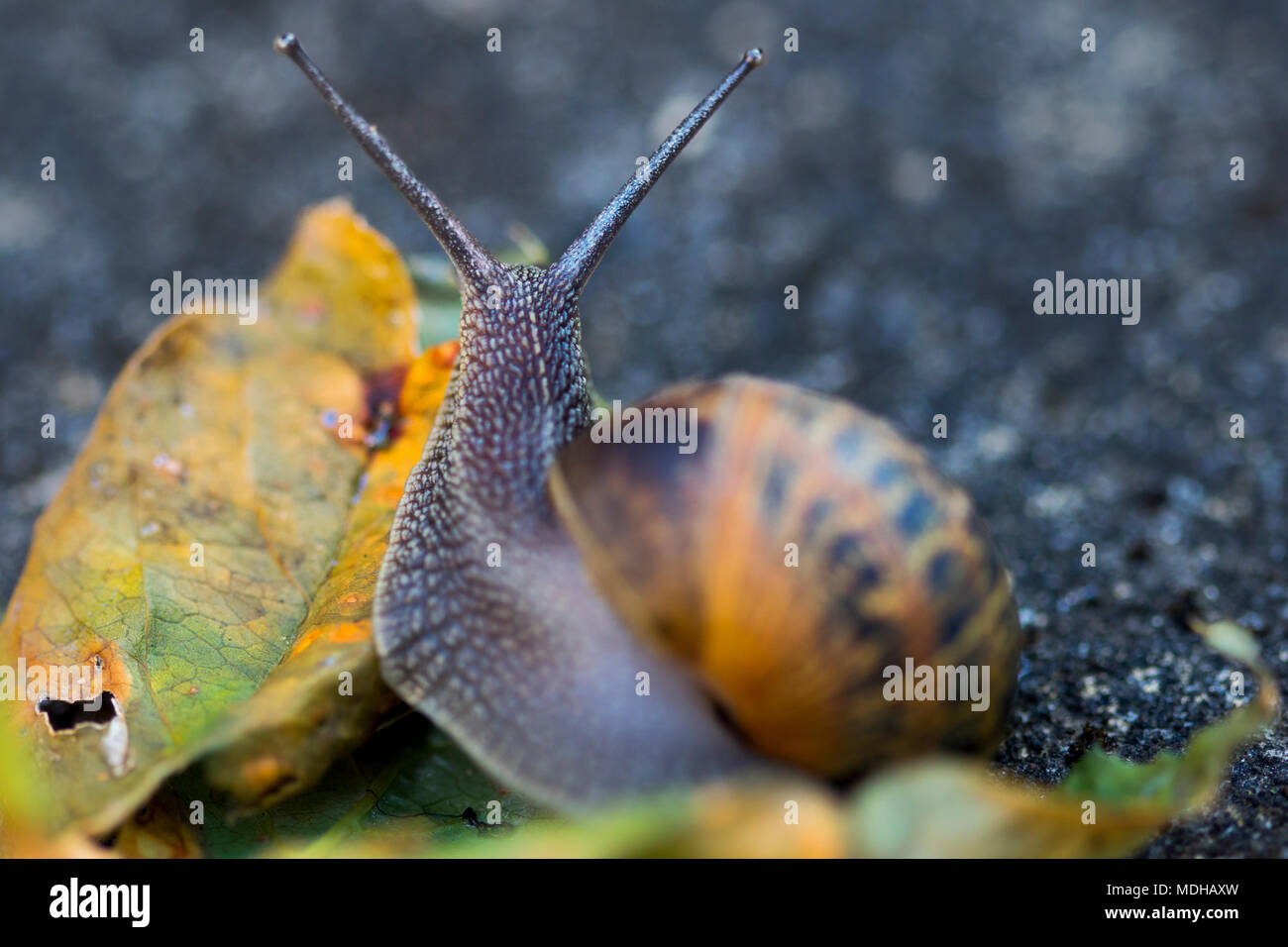 Garden snail mounts rotting leaf on concrete with tentacles extended in a 'v' shape with detail of scaly ventral foot and head - macro photography - Stock Image