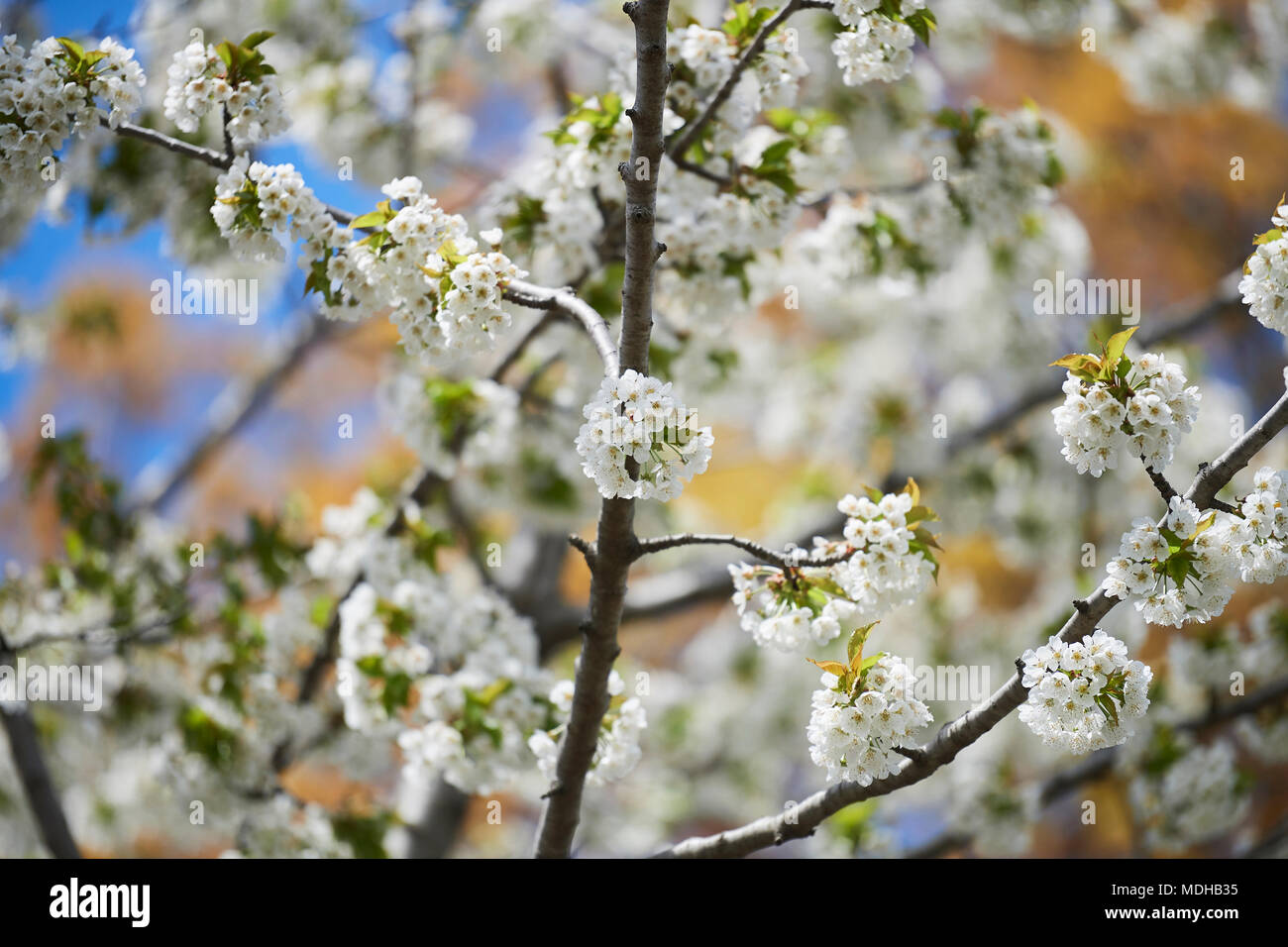 Close Up Of A Tree Flowering With Clusters Of Small White Blossoms