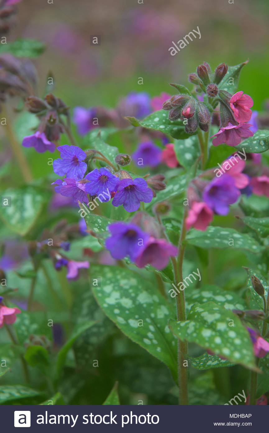 Pulmonaria officinalis cultivar with pink and blue flowers stock pulmonaria officinalis cultivar with pink and blue flowers izmirmasajfo