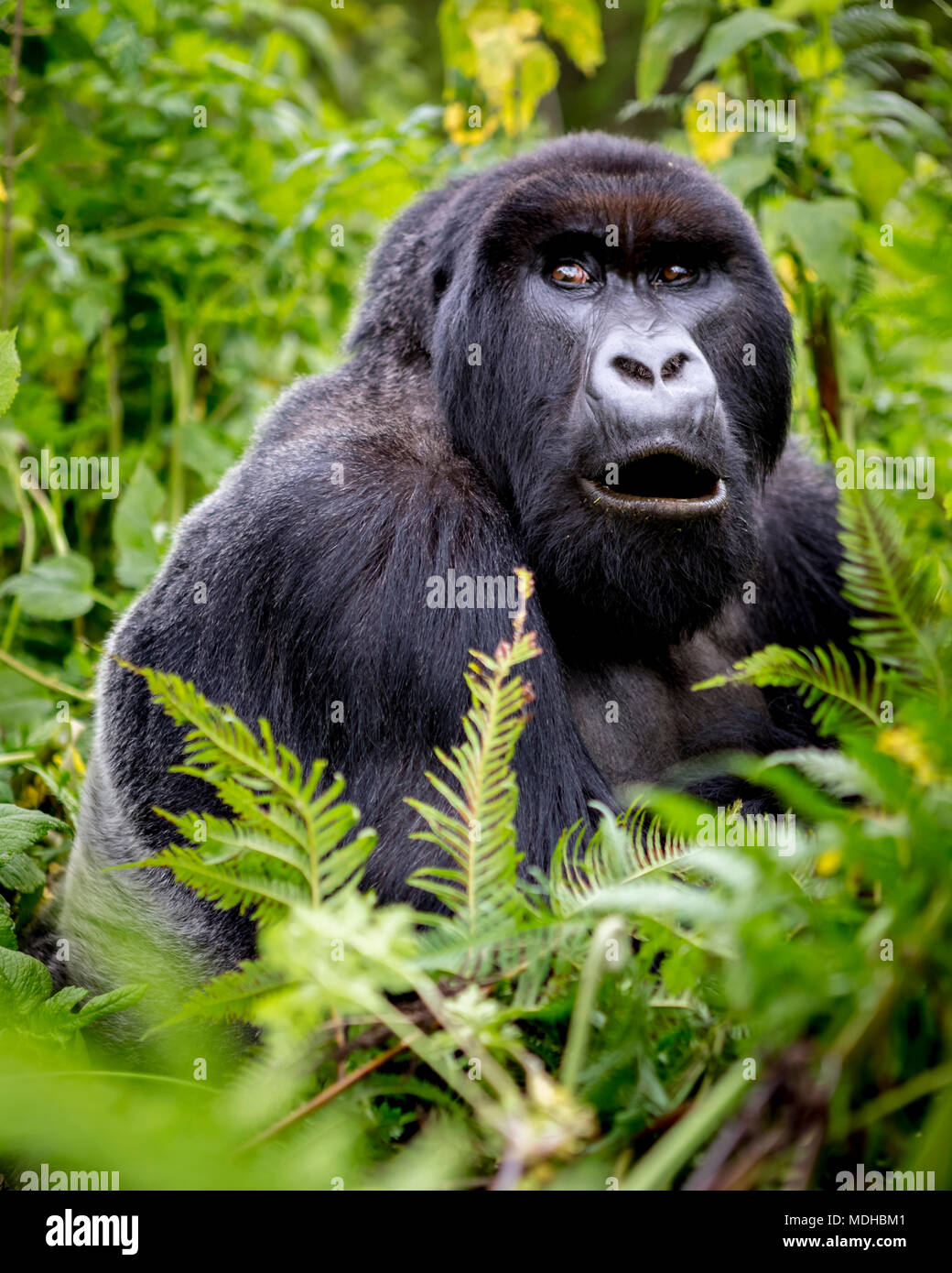 A Gorilla from the Giranzea Gorilla family sitting in the lush foliage with it's mouth open; Northern Province, Rwanda - Stock Image