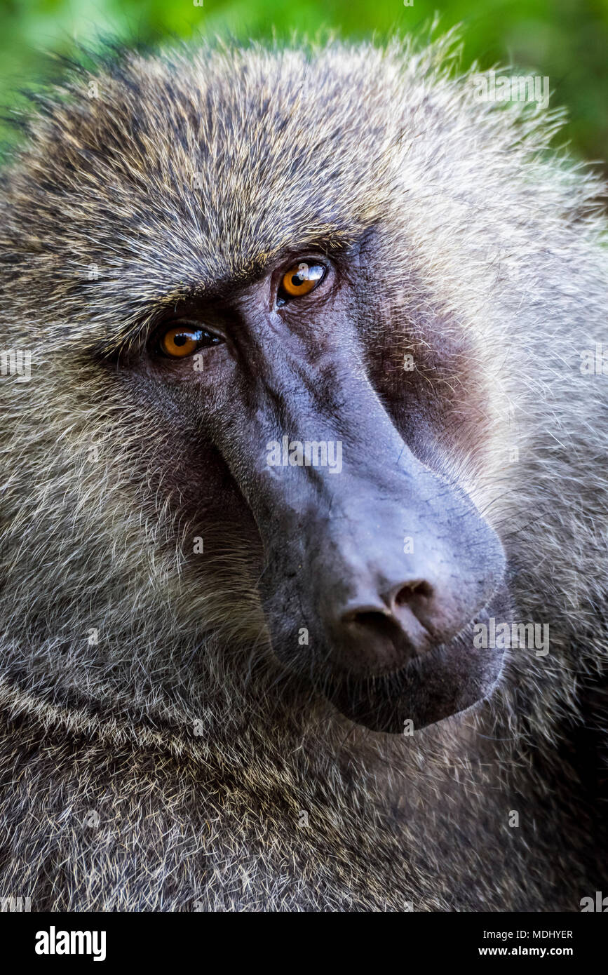 Close-up of male olive baboon (Papio anubis) looking at the camera; Tanzania - Stock Image