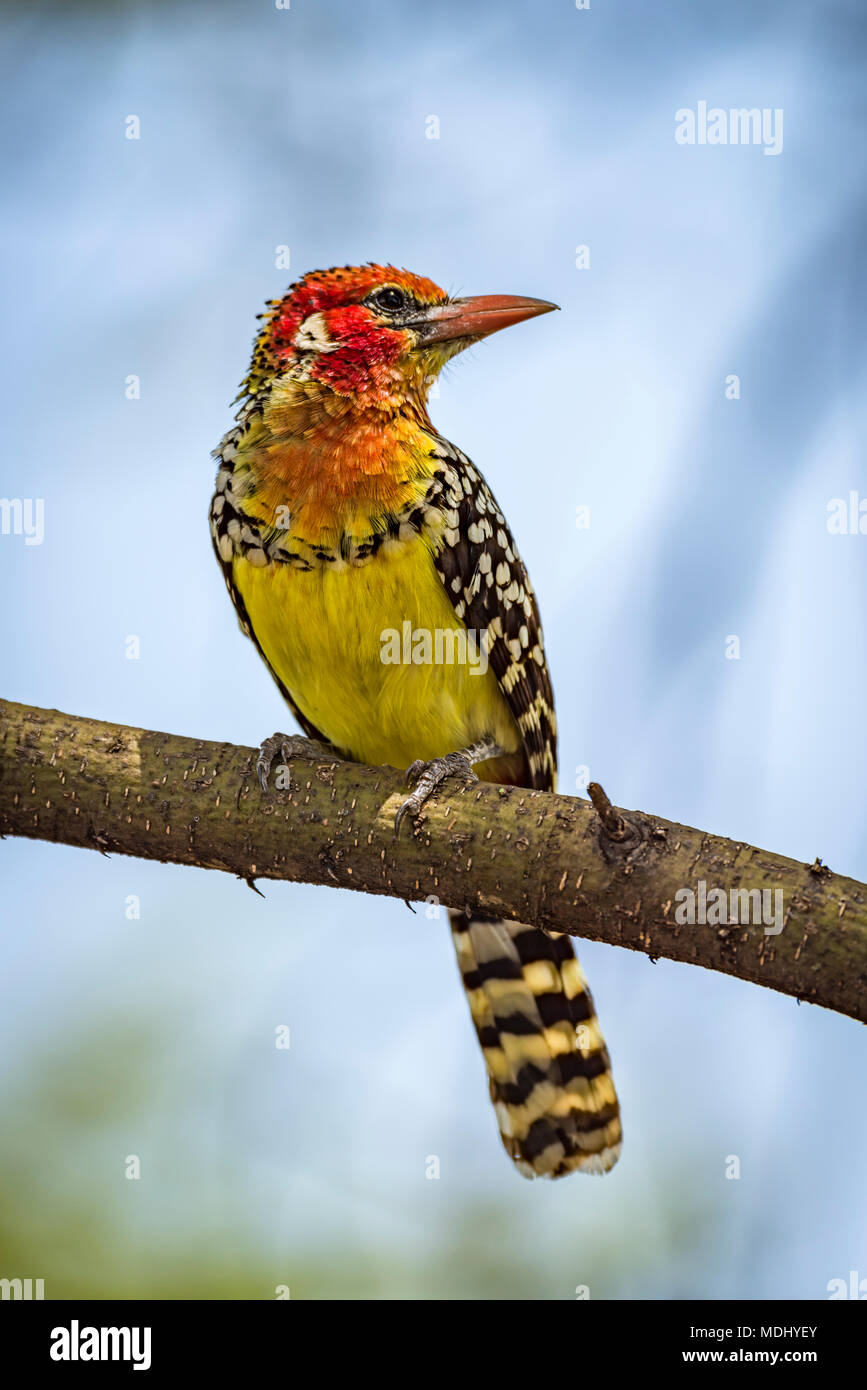 Red-and-yellow barbet (Trachyphonus erythrocephalus) on branch with head turned; Tanzania - Stock Image