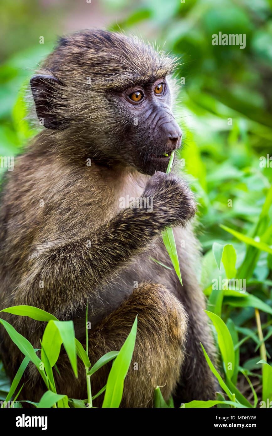 Close-up of baby olive baboon (Papio anubis) eating leaf; Tanzania - Stock Image