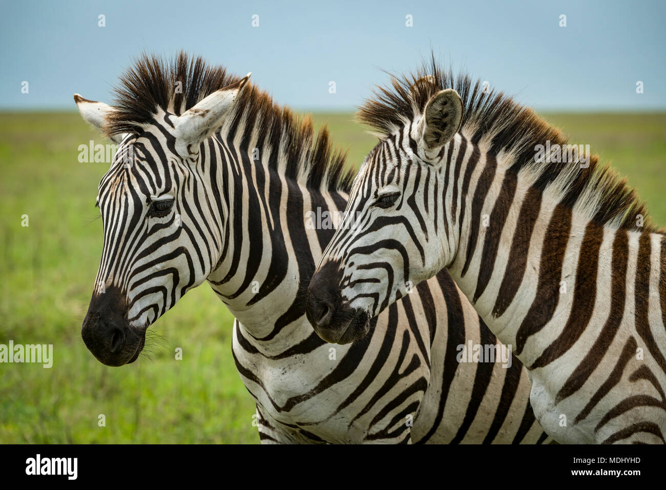 Close-up of two plains zebra (Equus quagga) standing side-by-side, Ngorongoro Crater; Tanzania - Stock Image