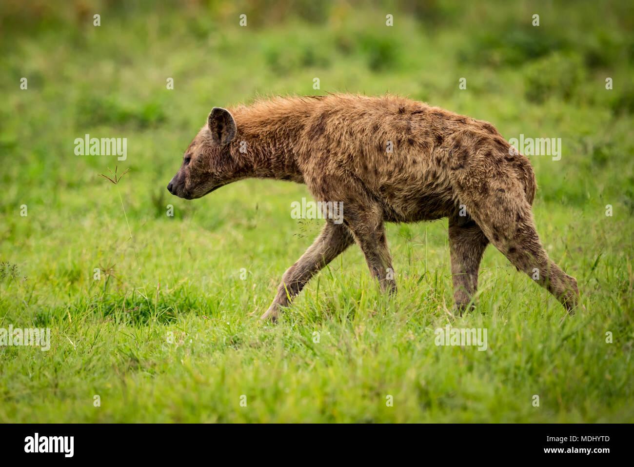 Spotted hyena (Crocuta crocuta) walks through grassland in profile, Ngorongoro Crater; Tanzania - Stock Image