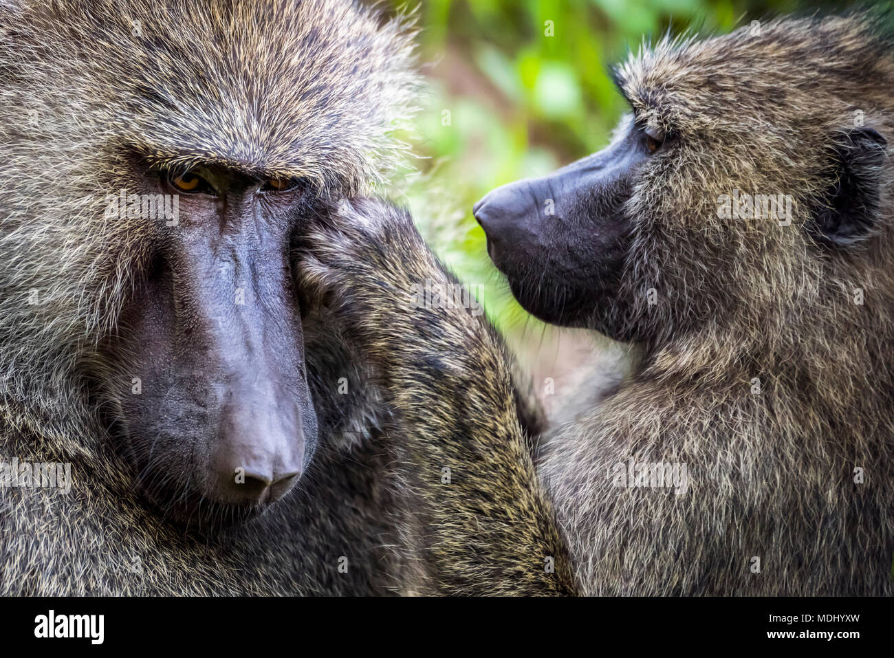Close-up of female grooming male olive baboon (Anubis baboon); Tanzania - Stock Image
