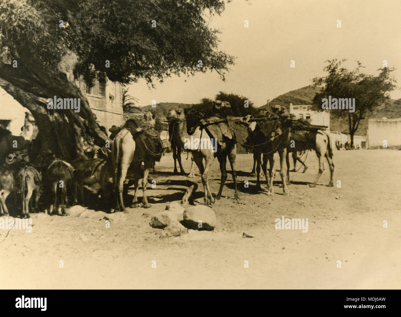 Camels and donkeys, North Africa 1930s - Stock Image