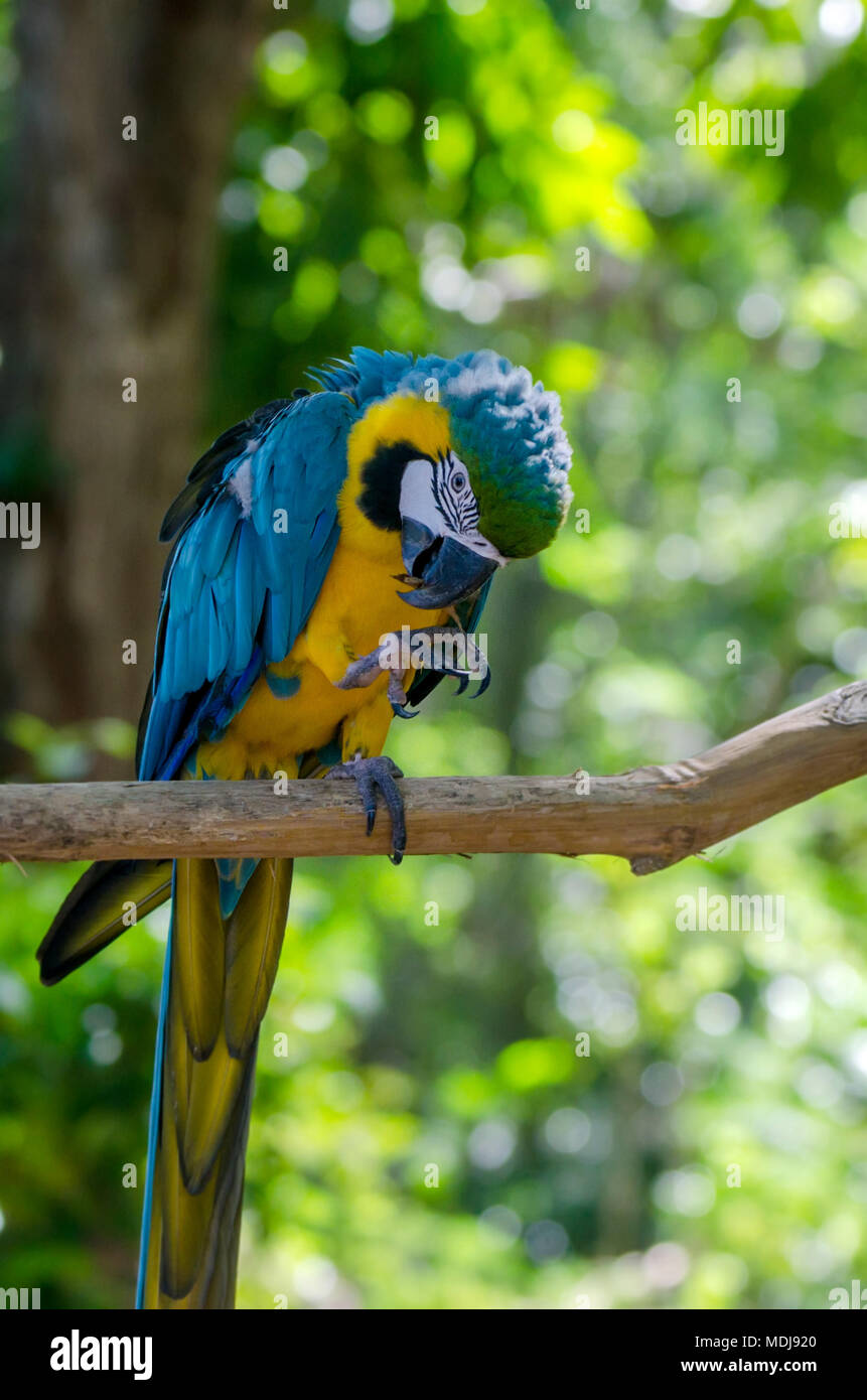Blue and yellow macaw - Stock Image