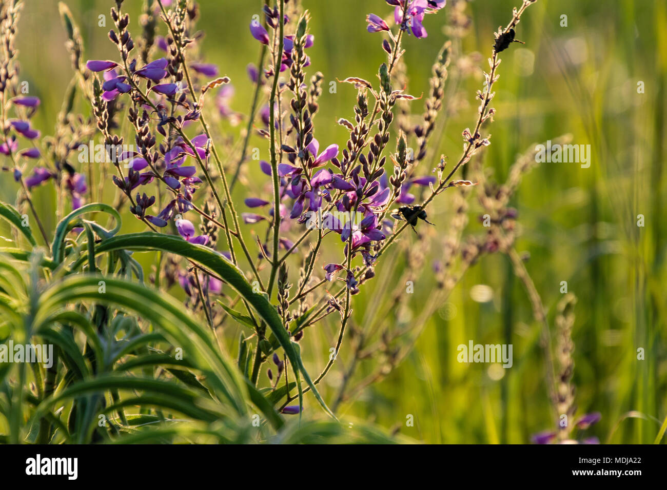 A Weed With Purple Flowers Found In A Park Stock Photo 180497242