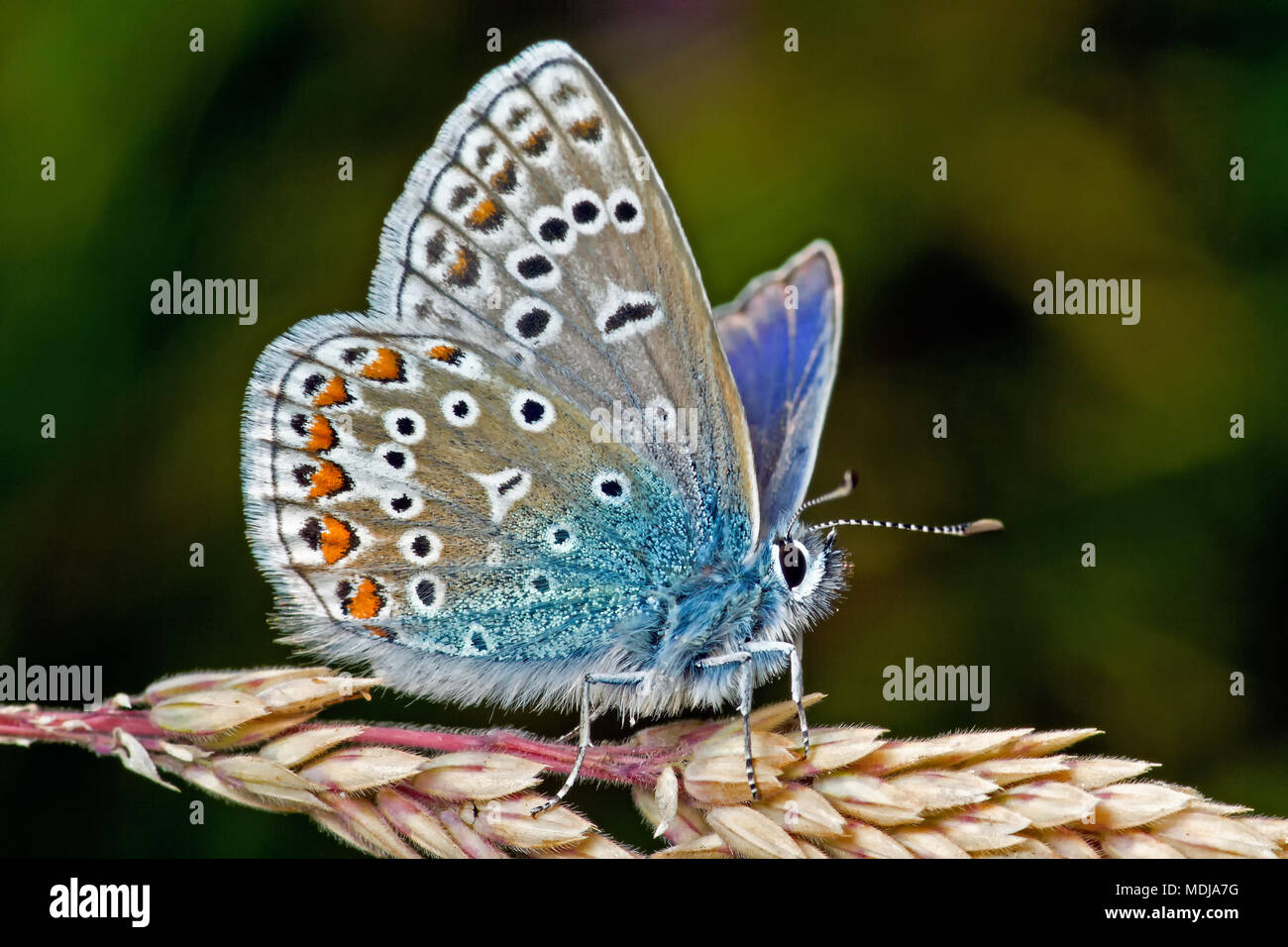 A Common Blue Butterfly, widespread throughout the British Isles but suffering population decline due to loss of habitat, rests in summer sunshine. - Stock Image