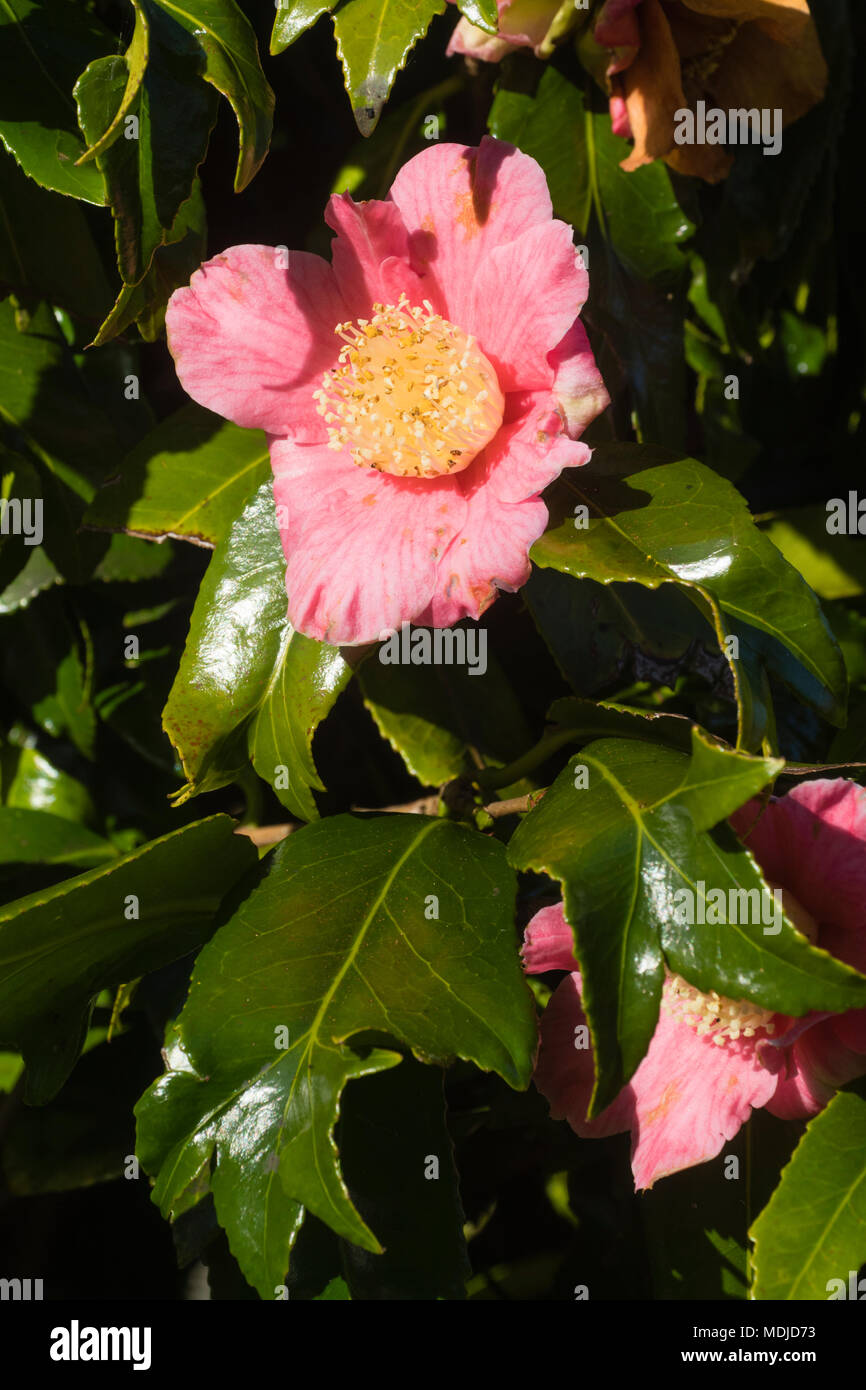 Pnk single flower and glossy, divided foilage of the evergreen fishtail camellia, Camellia japonica 'Kingyo-tsubaki' - Stock Image