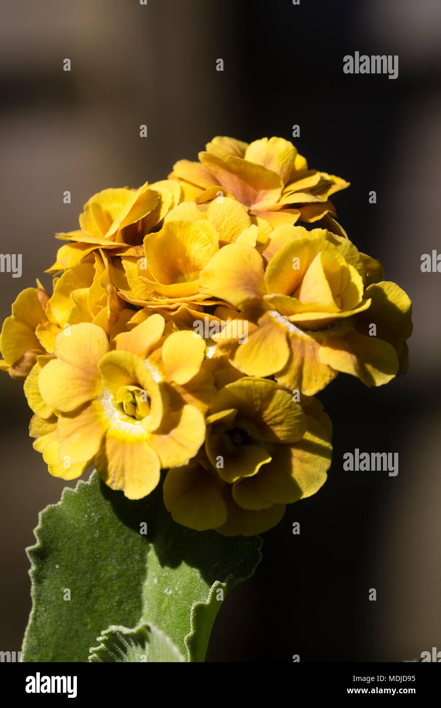 Flower head of the scented double Florist;s auricula, Primula auricula 'Shaun' - Stock Image