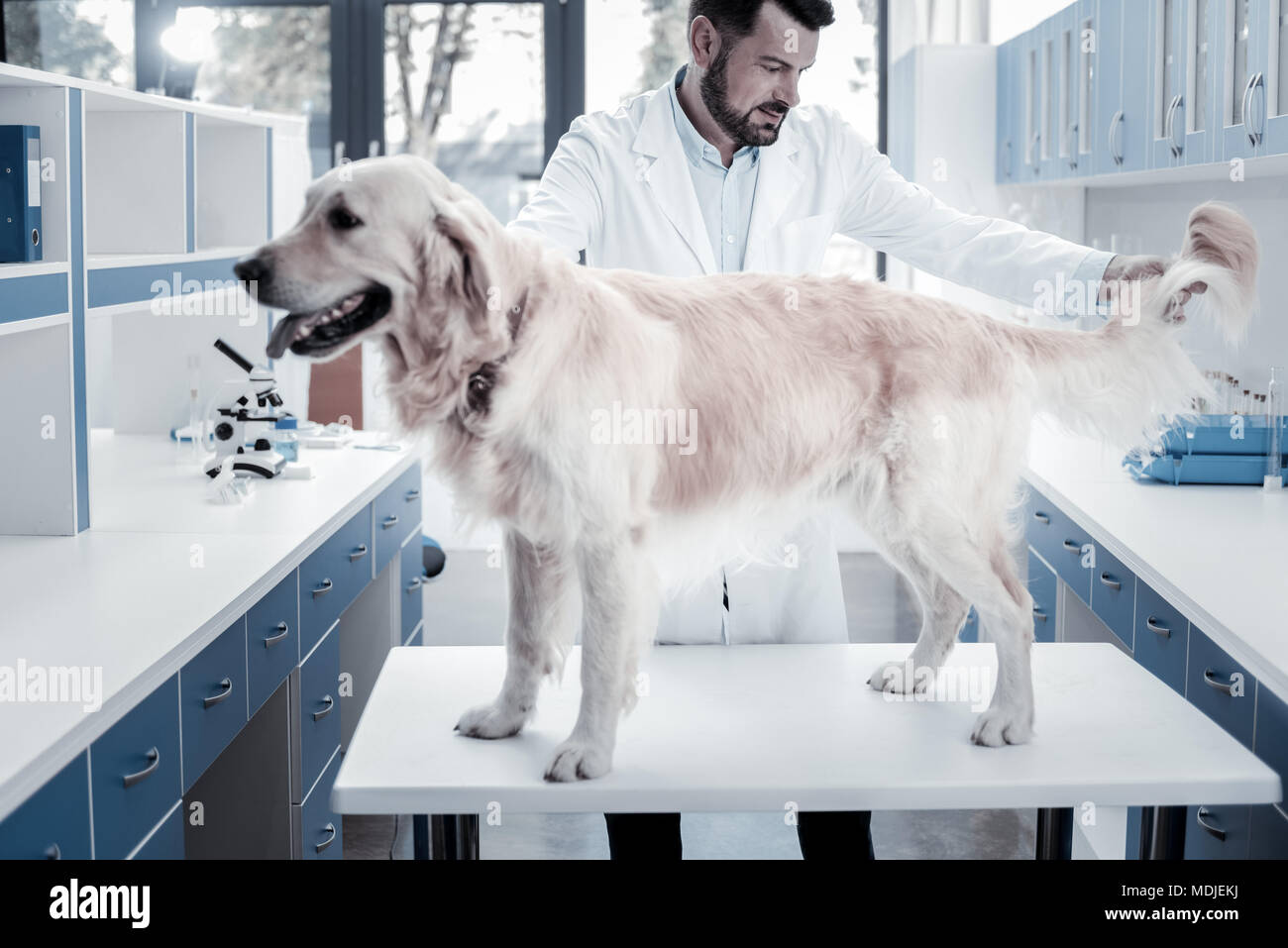 Nice smart doctor holding dogs tail - Stock Image
