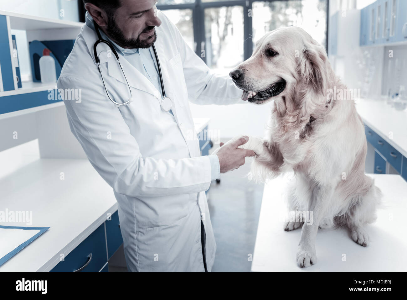 Smart vet doctor holding a labradors paw - Stock Image