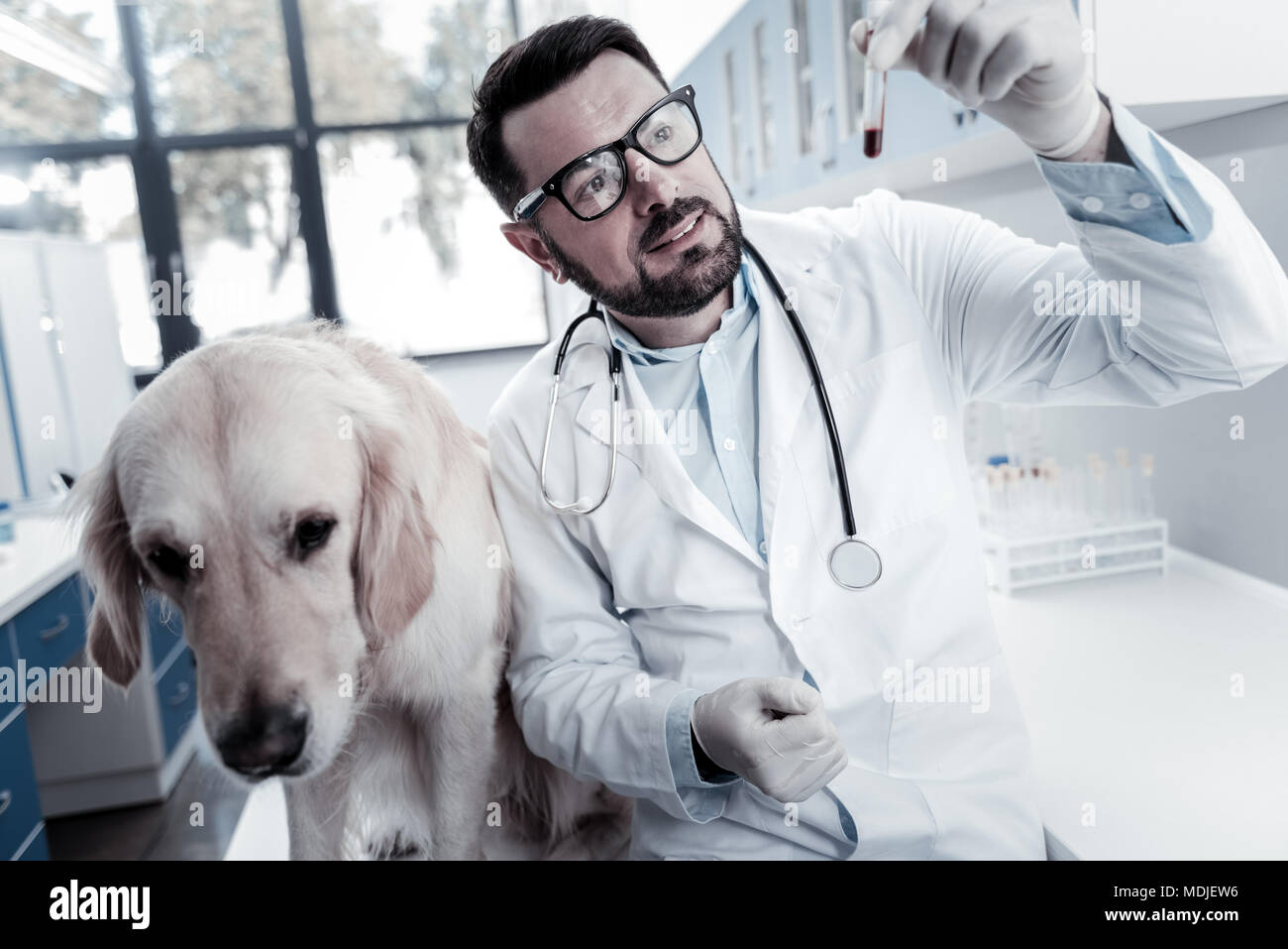 Smart skillful doctor looking at the blood sample - Stock Image