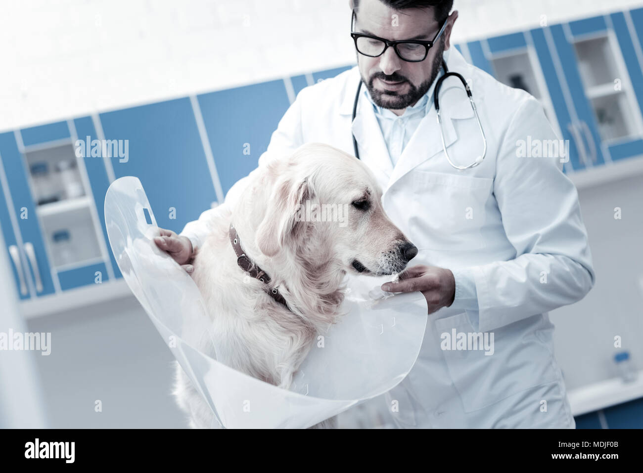 Nice serious veterinarian holding an e collar - Stock Image