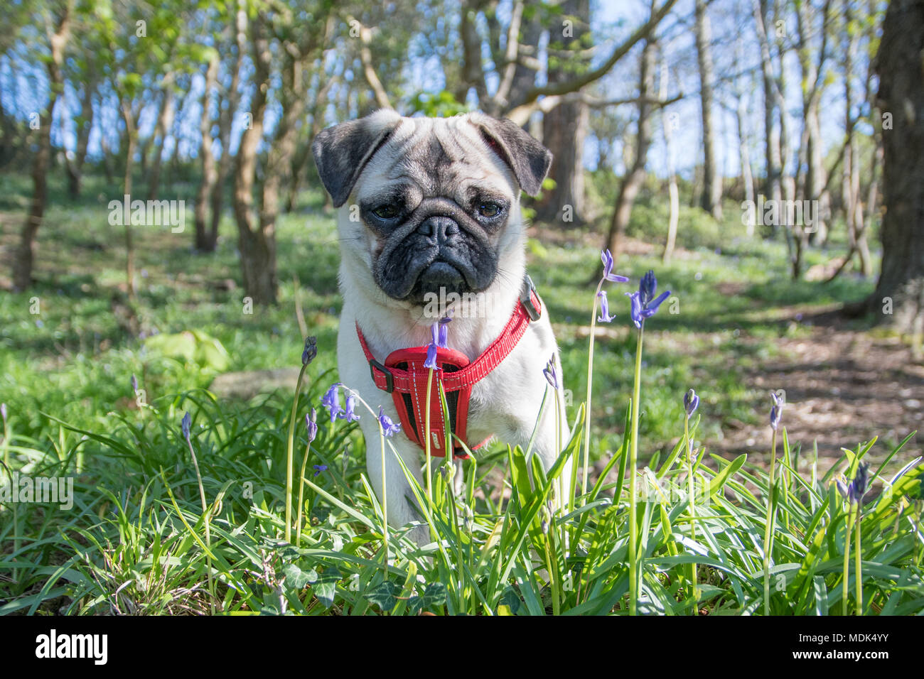 Newlyn, Cornwall, UK. 20th April 2108. UK Weather. Titan the pug out in the Bluebells wood at Newlyn, which have sprung into bloom in the warm weather over the last few days. Credit: Simon Maycock/Alamy Live News - Stock Image