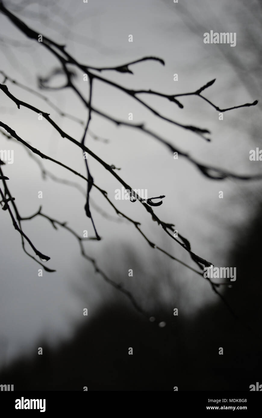 Water Drops Hang hanging from a thin tree branch silhouetted against a gray sky - Stock Image