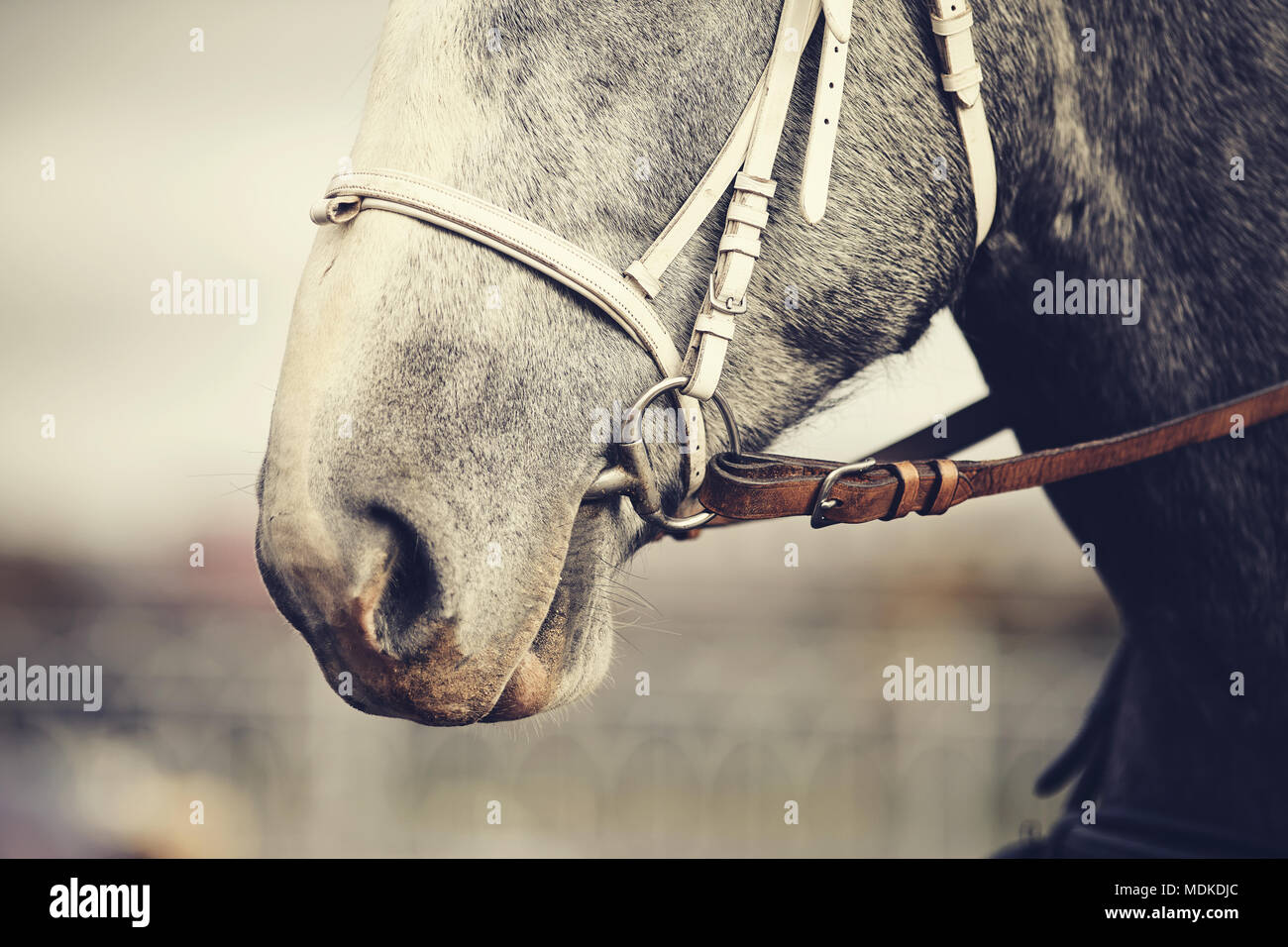 Muzzle of a gray horse in a bridle. - Stock Image