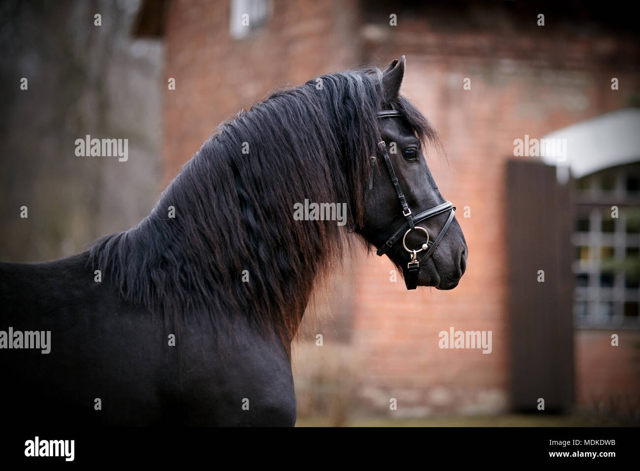Black stallion. Portrait of a sports black horse. Thoroughbred horse. Beautiful horse. - Stock Image
