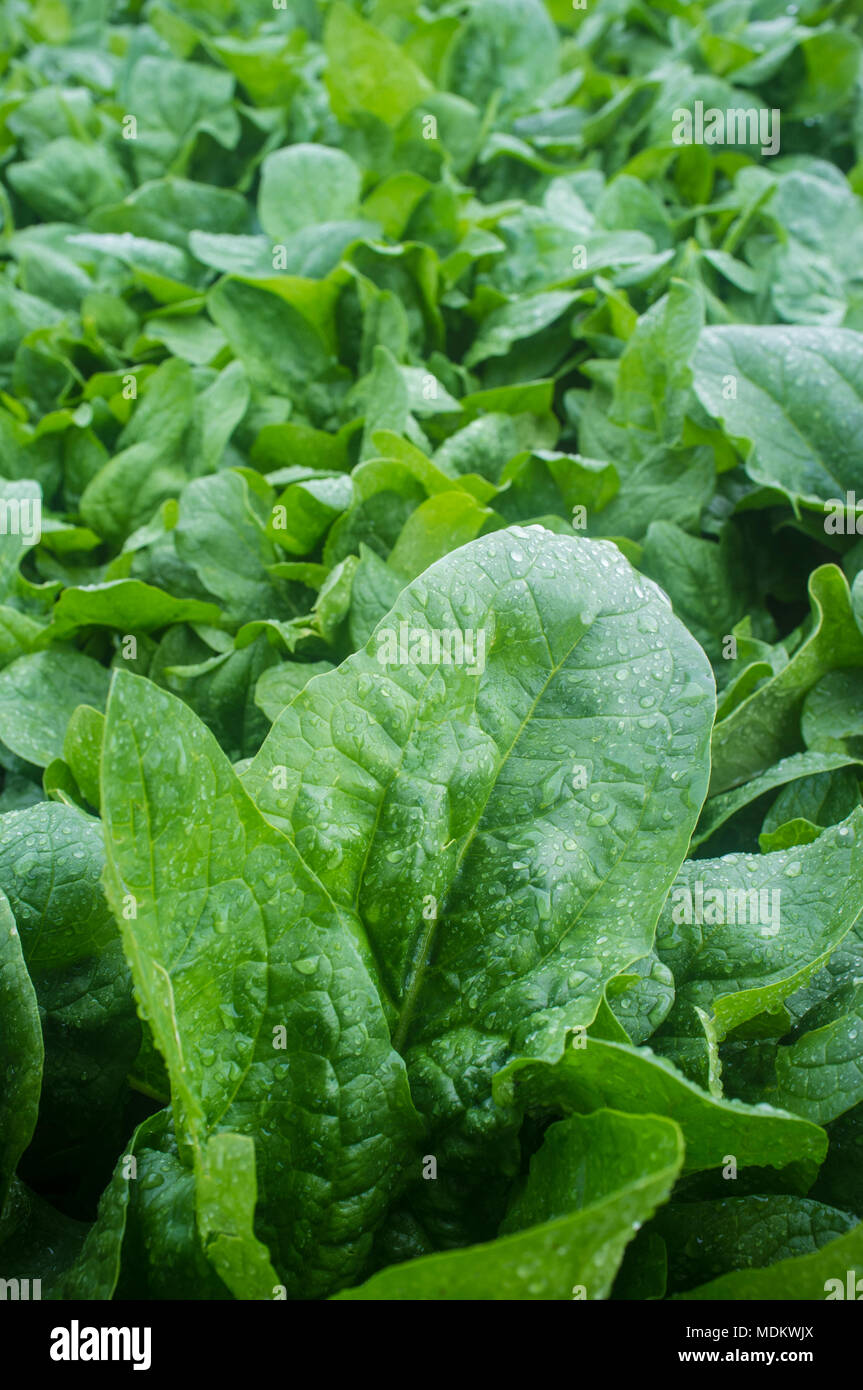 Spinach plantation at Vegas Bajas del Guadiana, Spain. Overhead shot - Stock Image