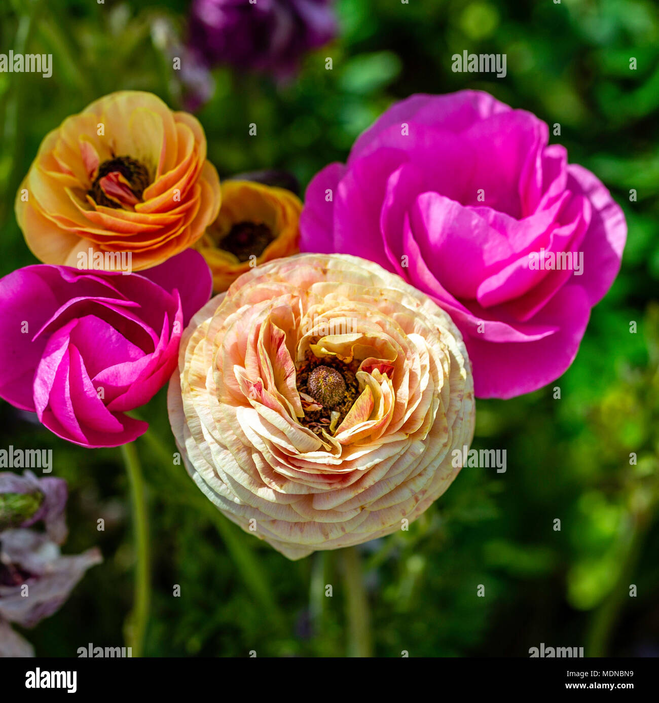 The specialization and colors of the Ranunculus were a sight to see. Even more so up close. Screen it back and add your own text for a spring message - Stock Image