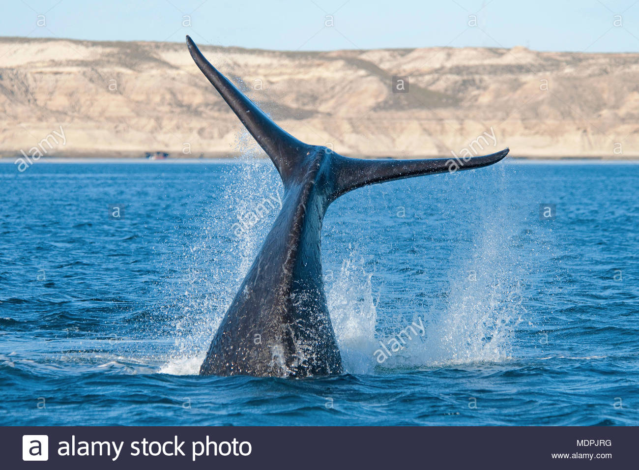 Flukes of a  Southern Right Whale, (Eubalaena australis) descending, Peninsula Valdes, Patagonia, Argentinia - Stock Image