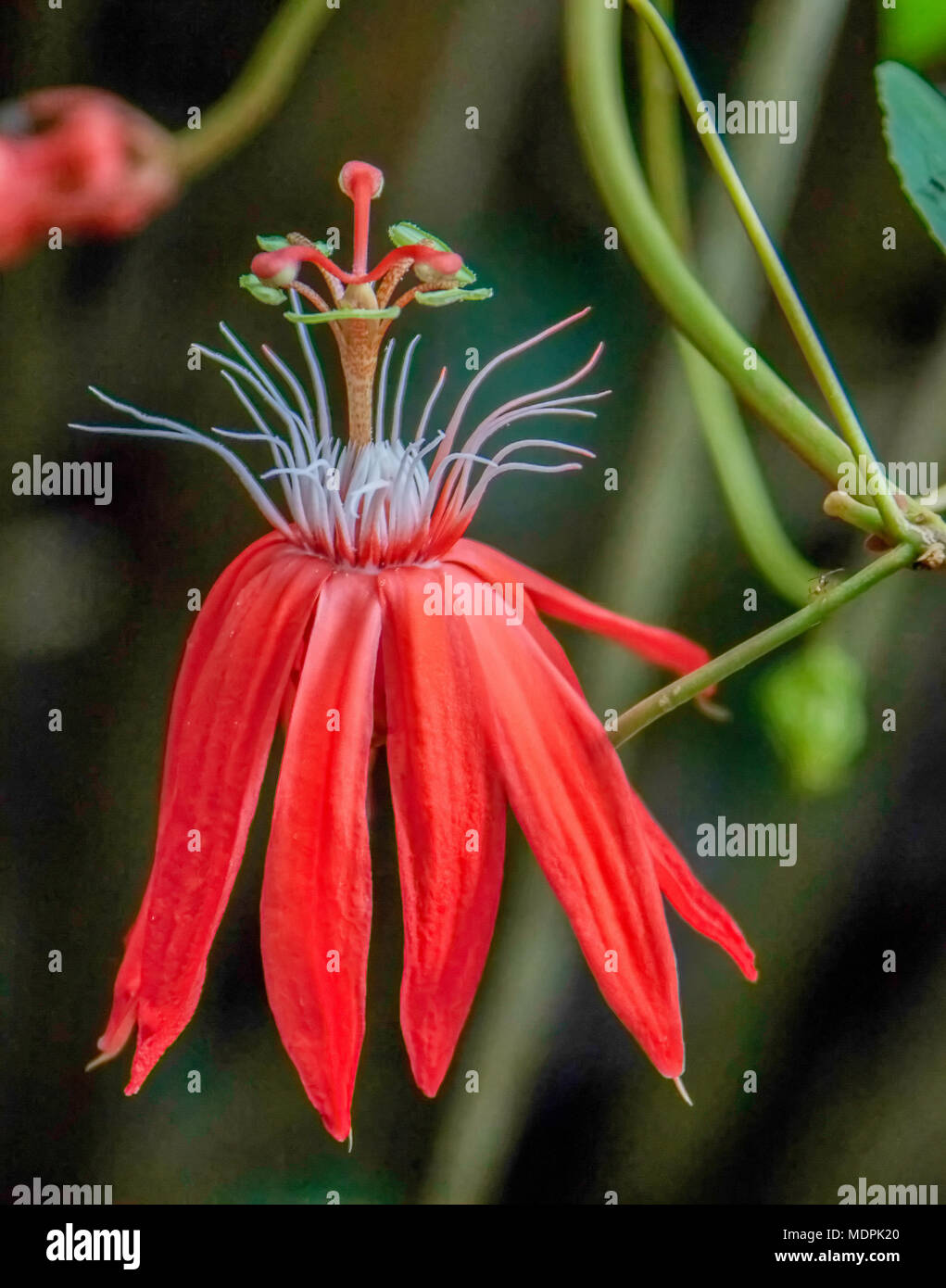 Flowers were mostly found in the canopy, as this one from a observation tower 4 stories high - Stock Image