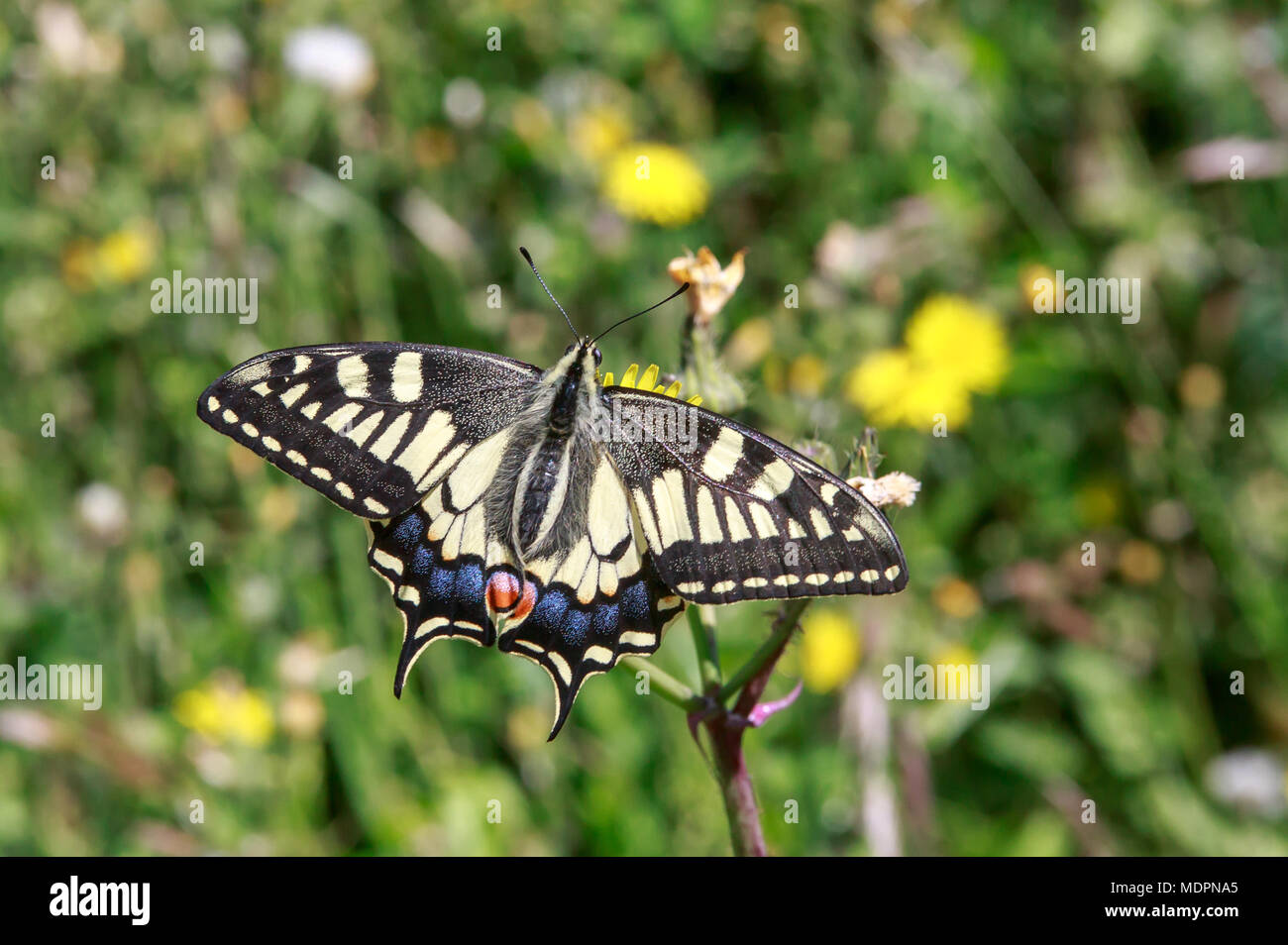 Papilio machaon, the Old World swallowtail, is a butterfly of the family Papilionidae. The butterfly is also known as the common yellow swallowtail. - Stock Image